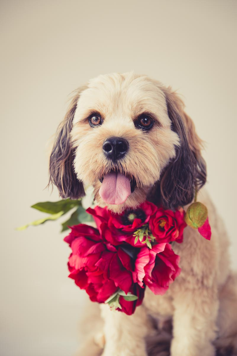 dog with flowers auckland
