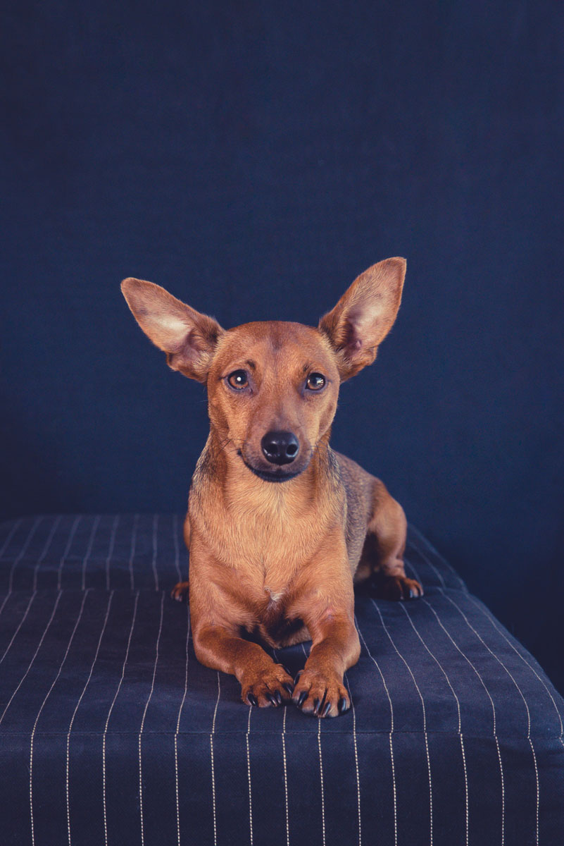 dog photography, pet photographer, pet photographer auckland, dog photography near me, animal photographer, yellow lab, yellow lab photography, photographer in auckland, family photographer auckland, gift for dog lover, gift for her, mothersday gift idea, minpin,