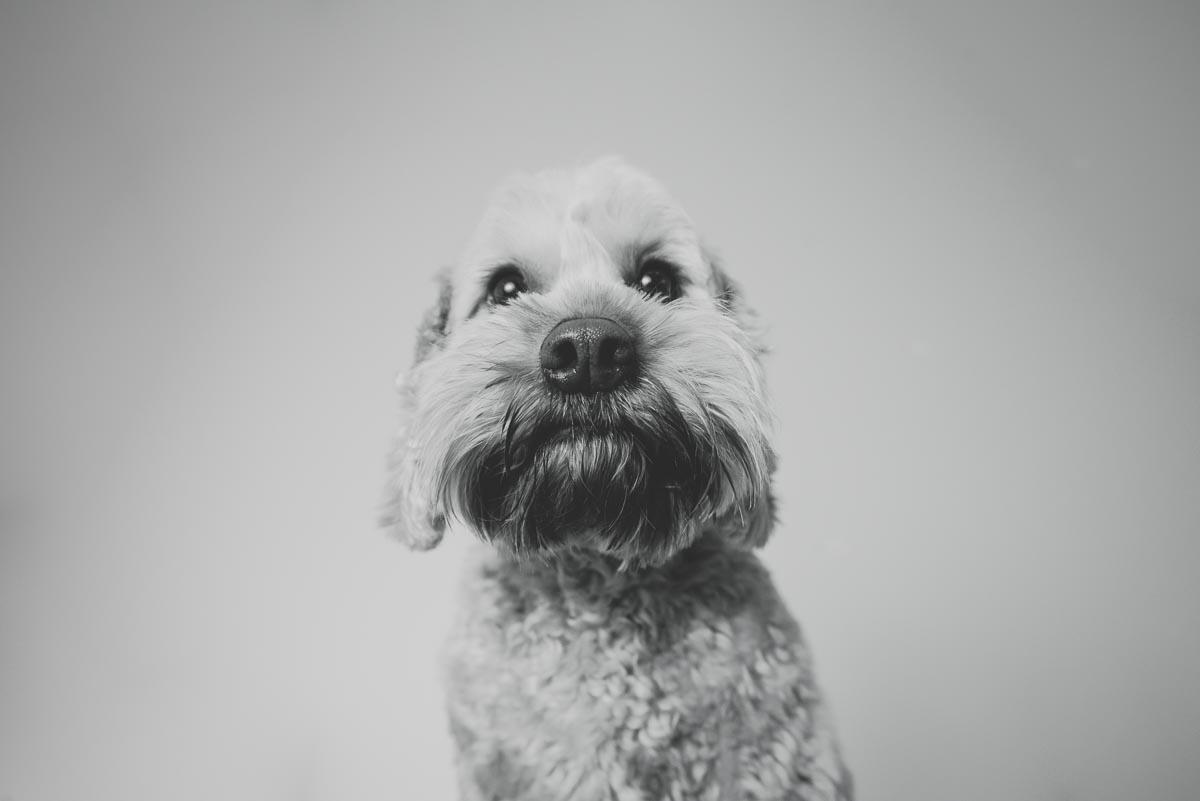 dog portrait auckland