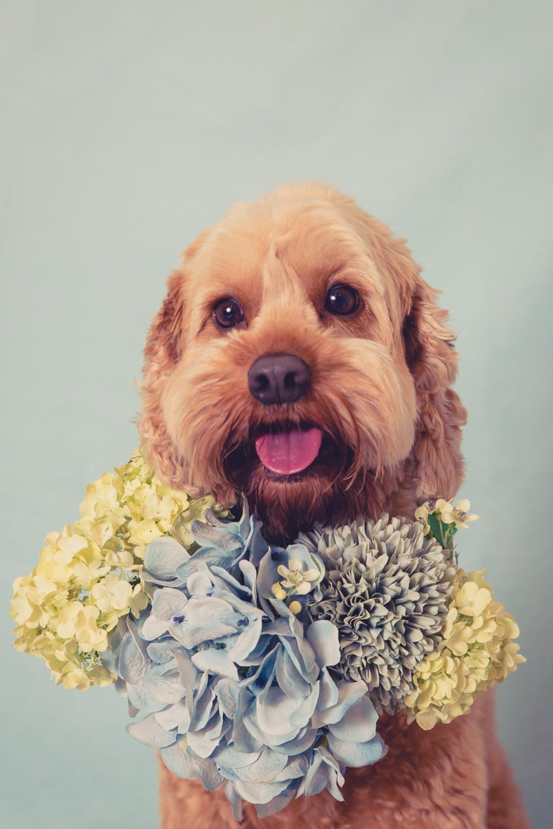 dog with flowers photographer auckland