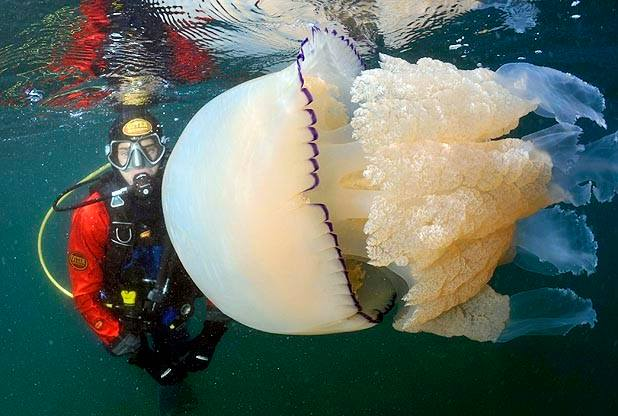 jelly_fish_dive_cornwall