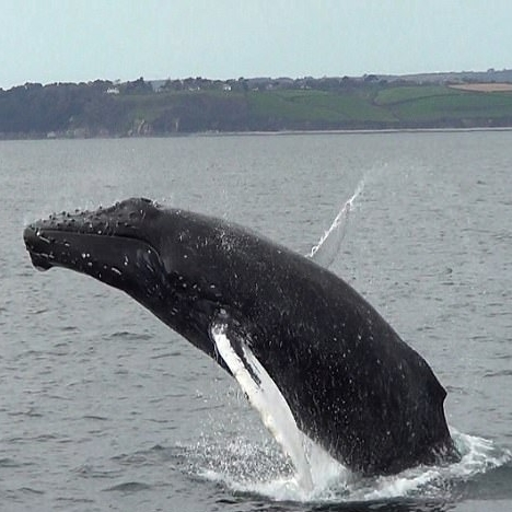 5. Whales - A very rare sighting and best seen when on a wildlife boat tour. Different types of Baleen whales can bee seen due to the warm waters of the Cornish coast. Seeing one of these leap from the water will certainly be a sight you remember!