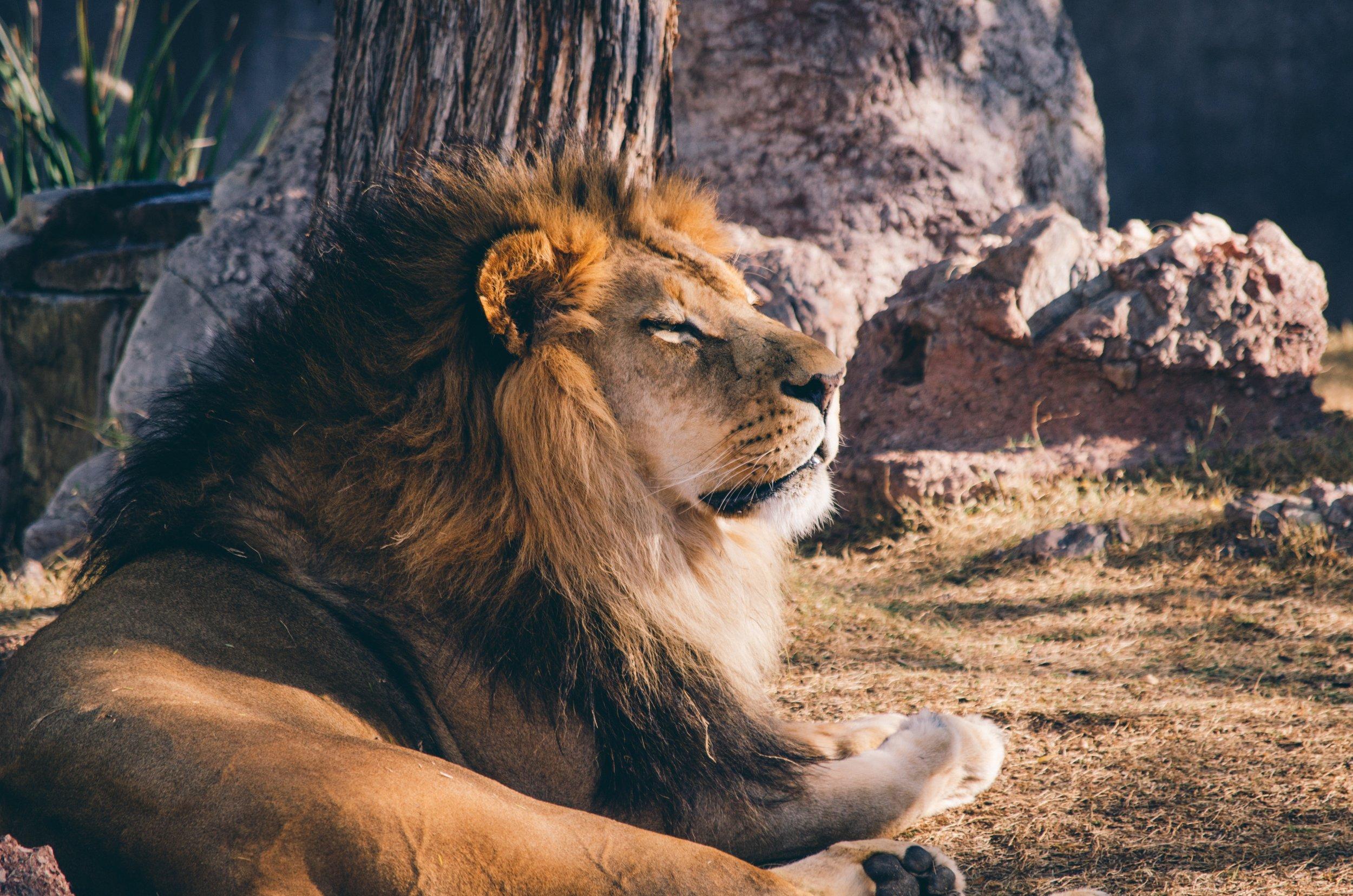 Har du være eller er du stærk som en løve?
