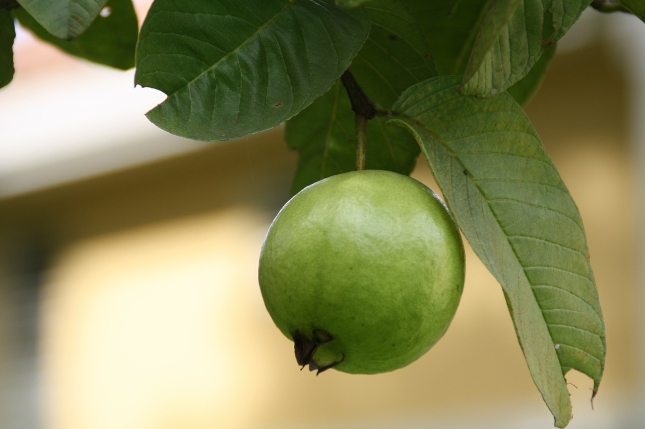 Garry the Guava is green with envy.