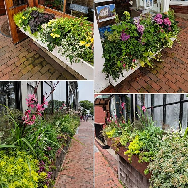 Great color and texture in these Nantucket window boxes! We loved checking out these creative combinations.  #plantingdesign #containerplants #windowboxwednesday #windowboxes #landscapedesign #landscapearchitecture #plantsofinstagram