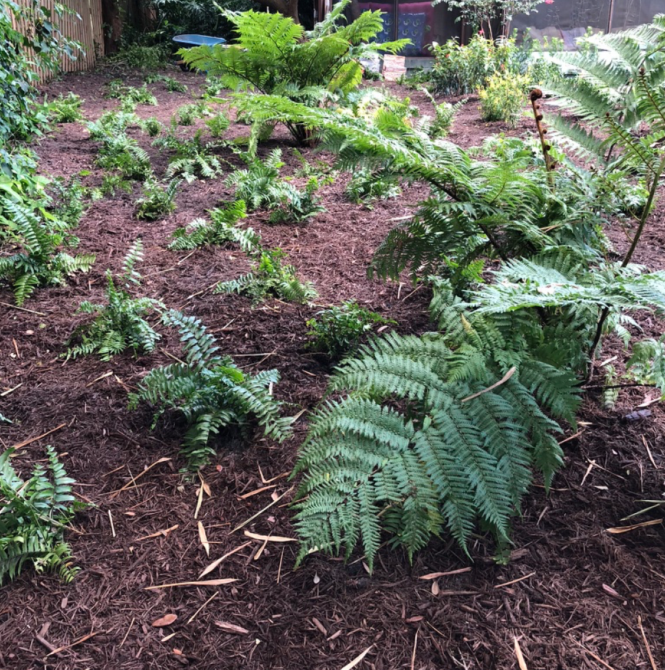 Newly planted Macho Ferns under some Australian Tree Fern.