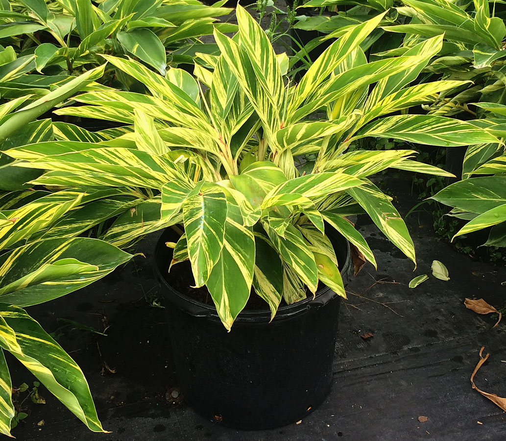 Variegated Ginger