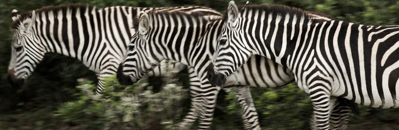 FMM Mara Zebras 05.jpg