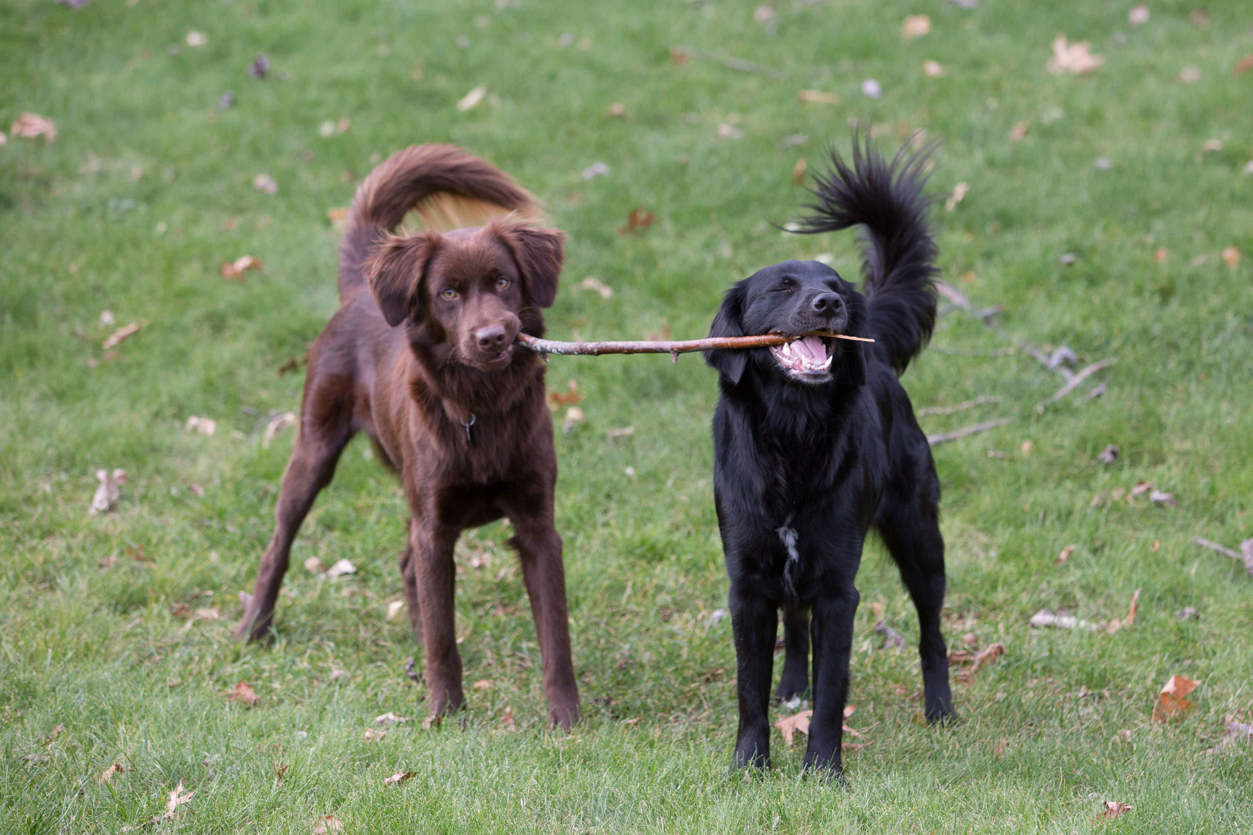 Lady (right) and her foster brother Acorn (left) enjoying a stick together.