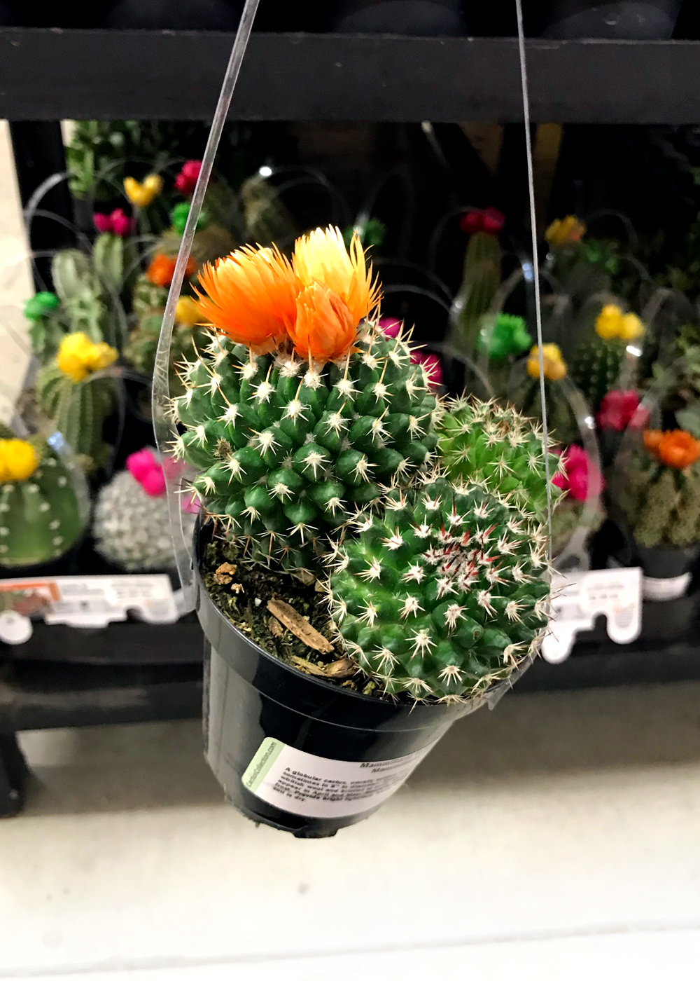cactuses are a great way to add some green to your home this winter