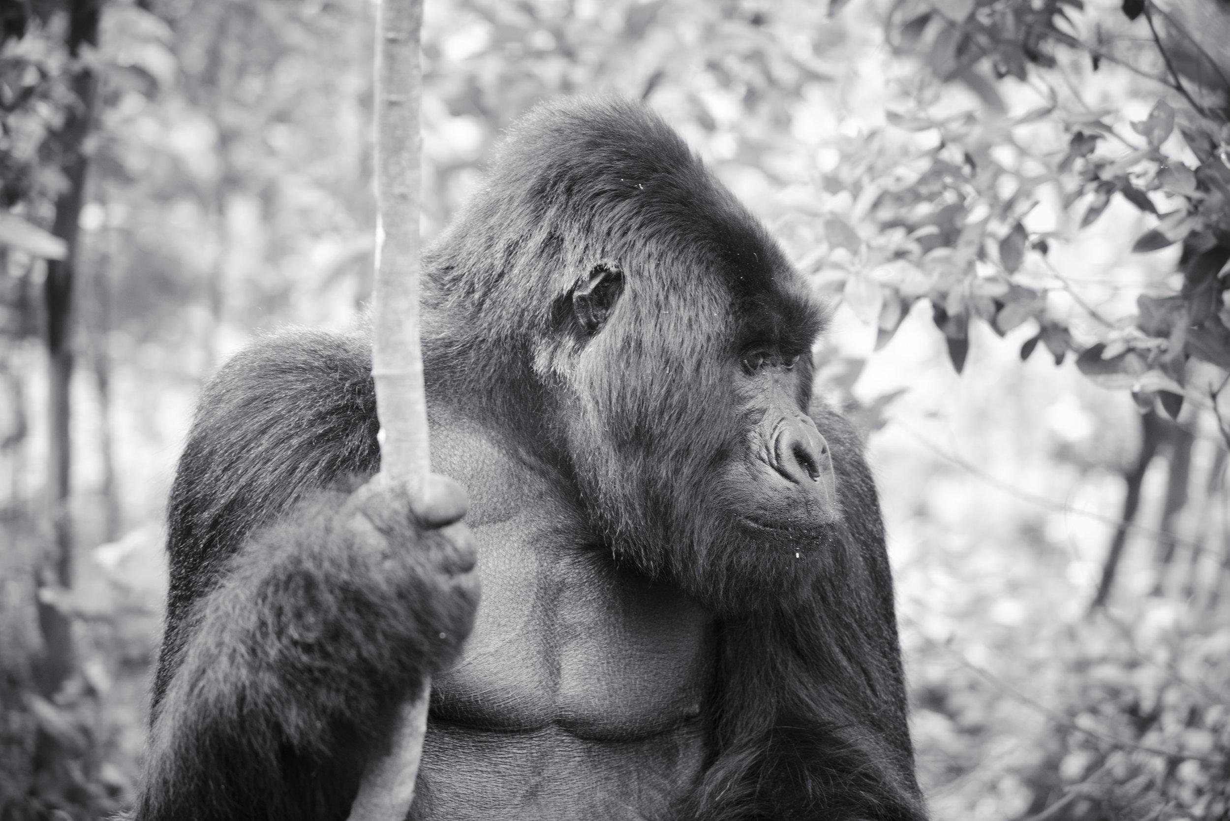 Visit with the Mountain Gorillas, Rwanda