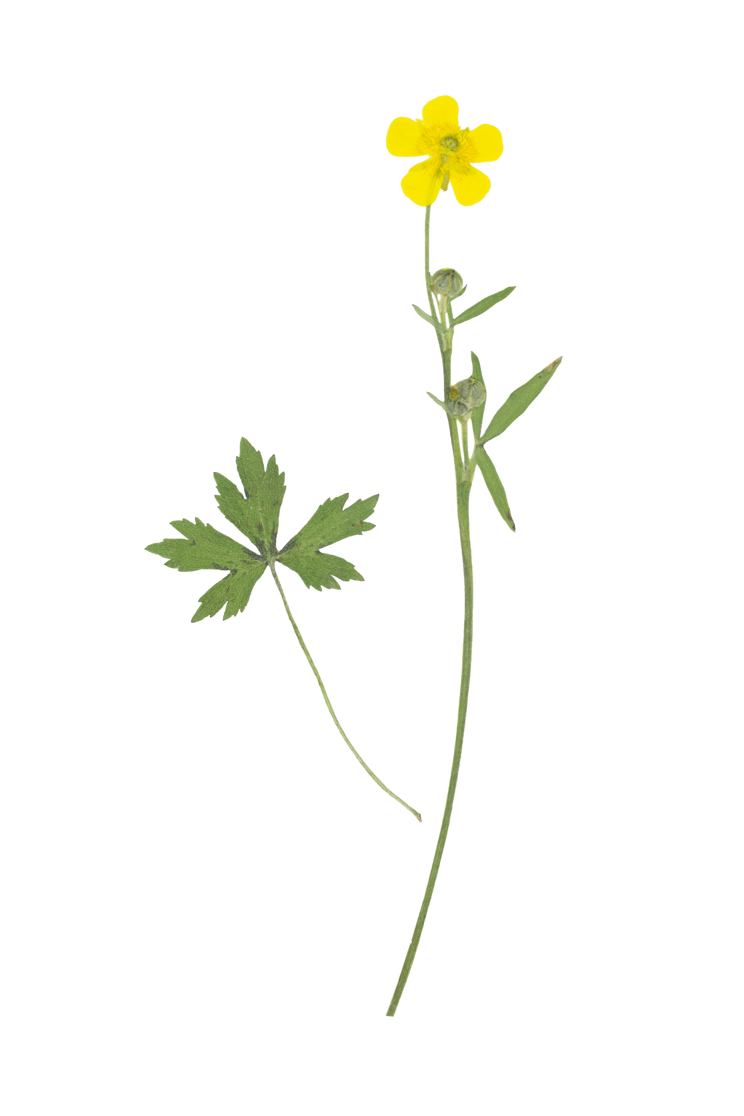 Meadow Buttercup / Ranunculus acris friesianus