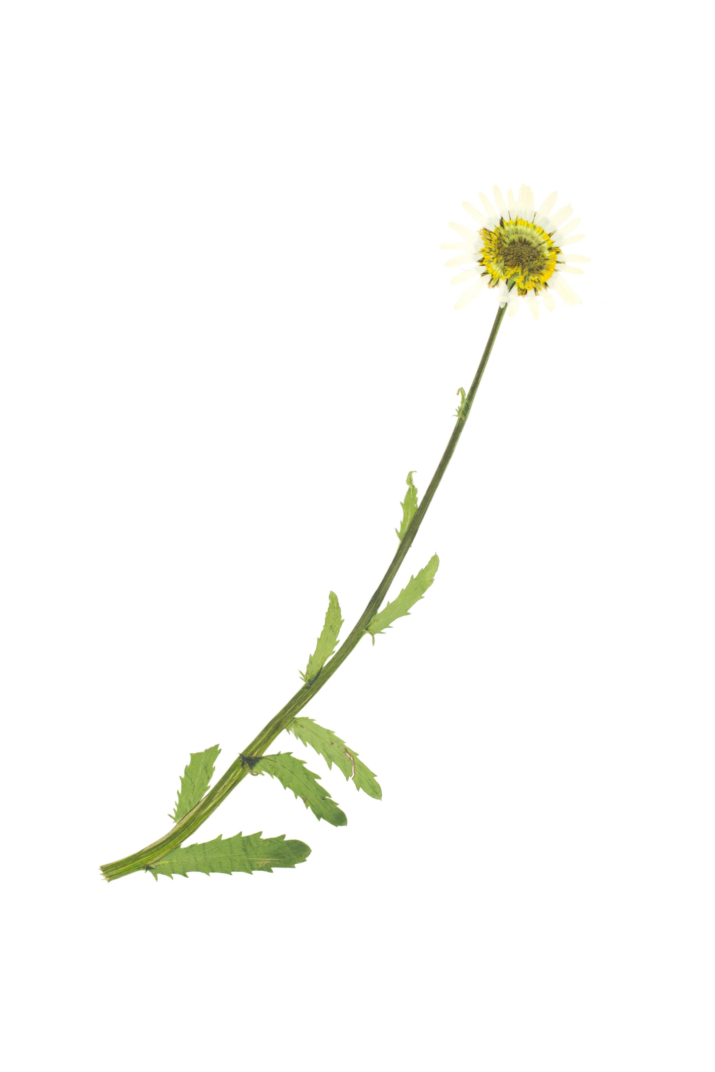 Leucanthemum adustum / Mountain Marguerite