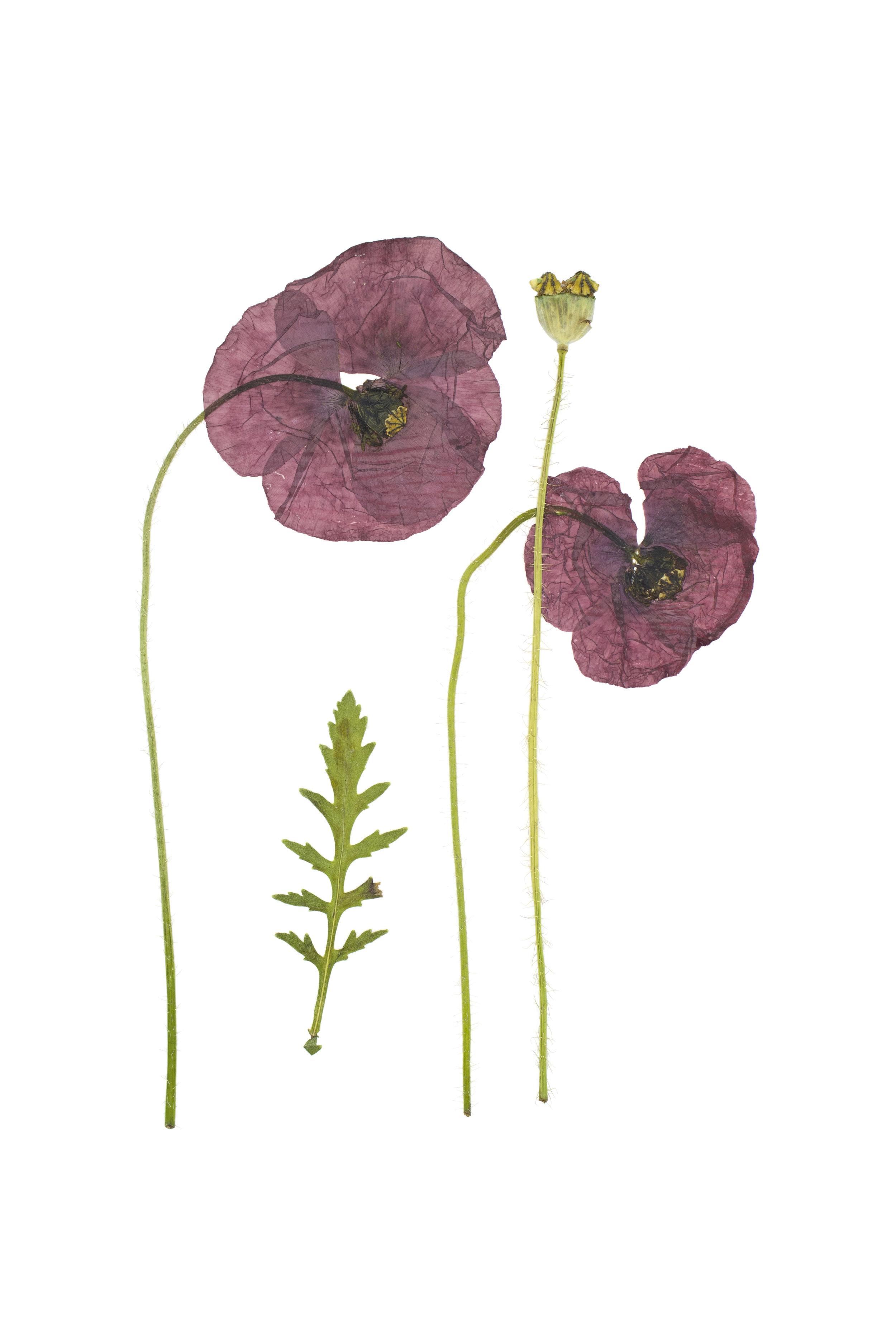 Papaver rhoeas / Field Poppy