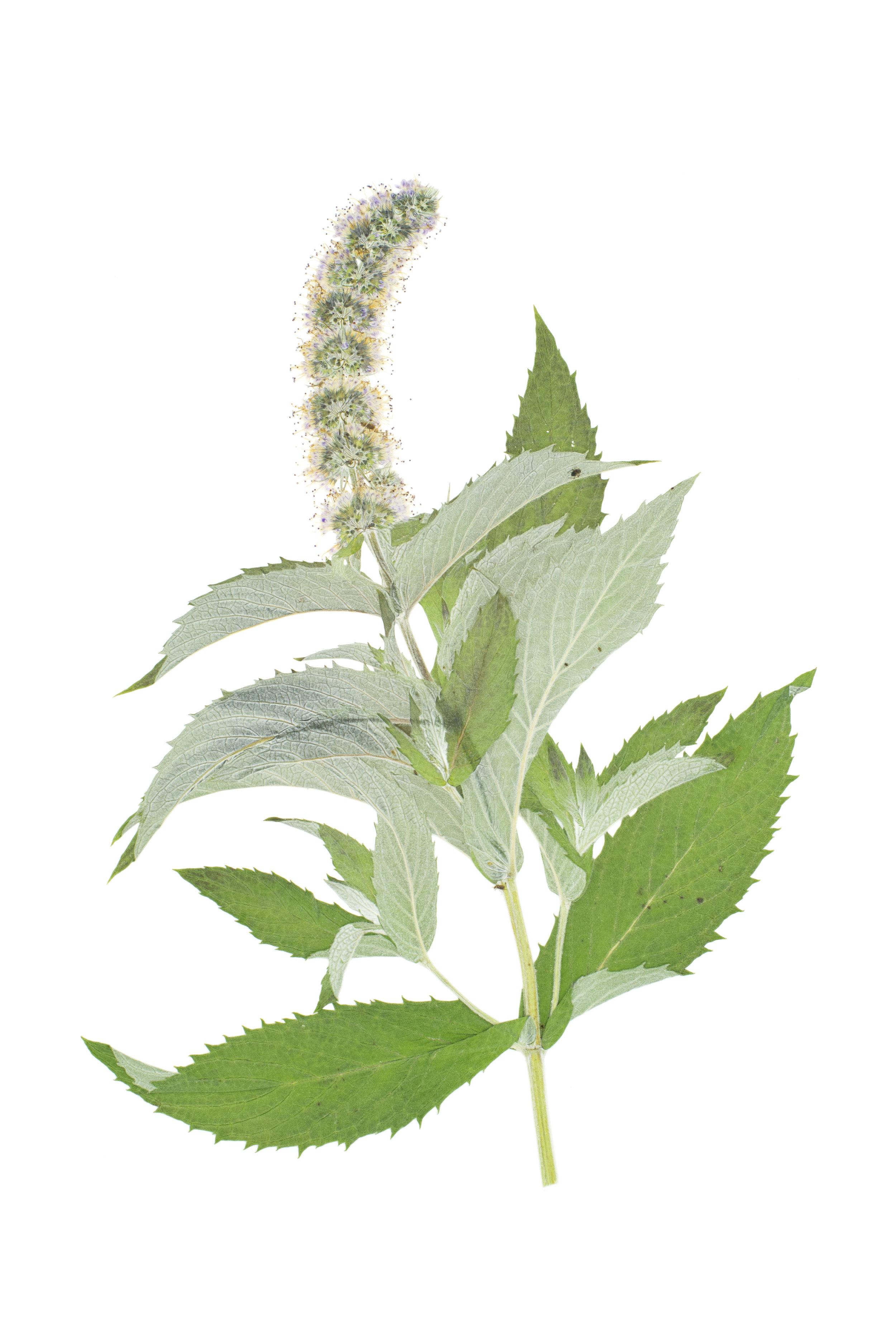 Horse Mint / Mentha longifolia