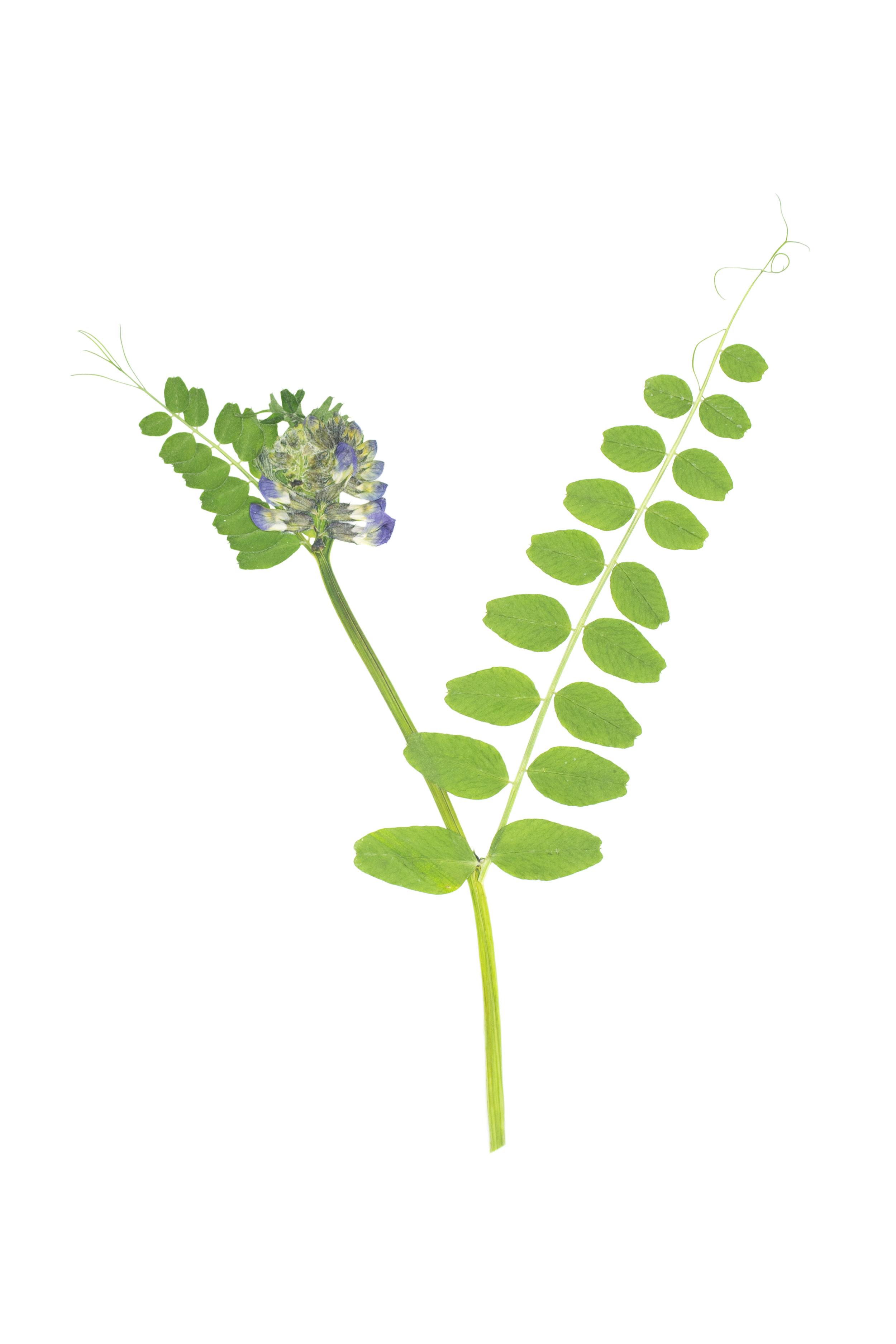 Bush Vetch / Vicia sepium