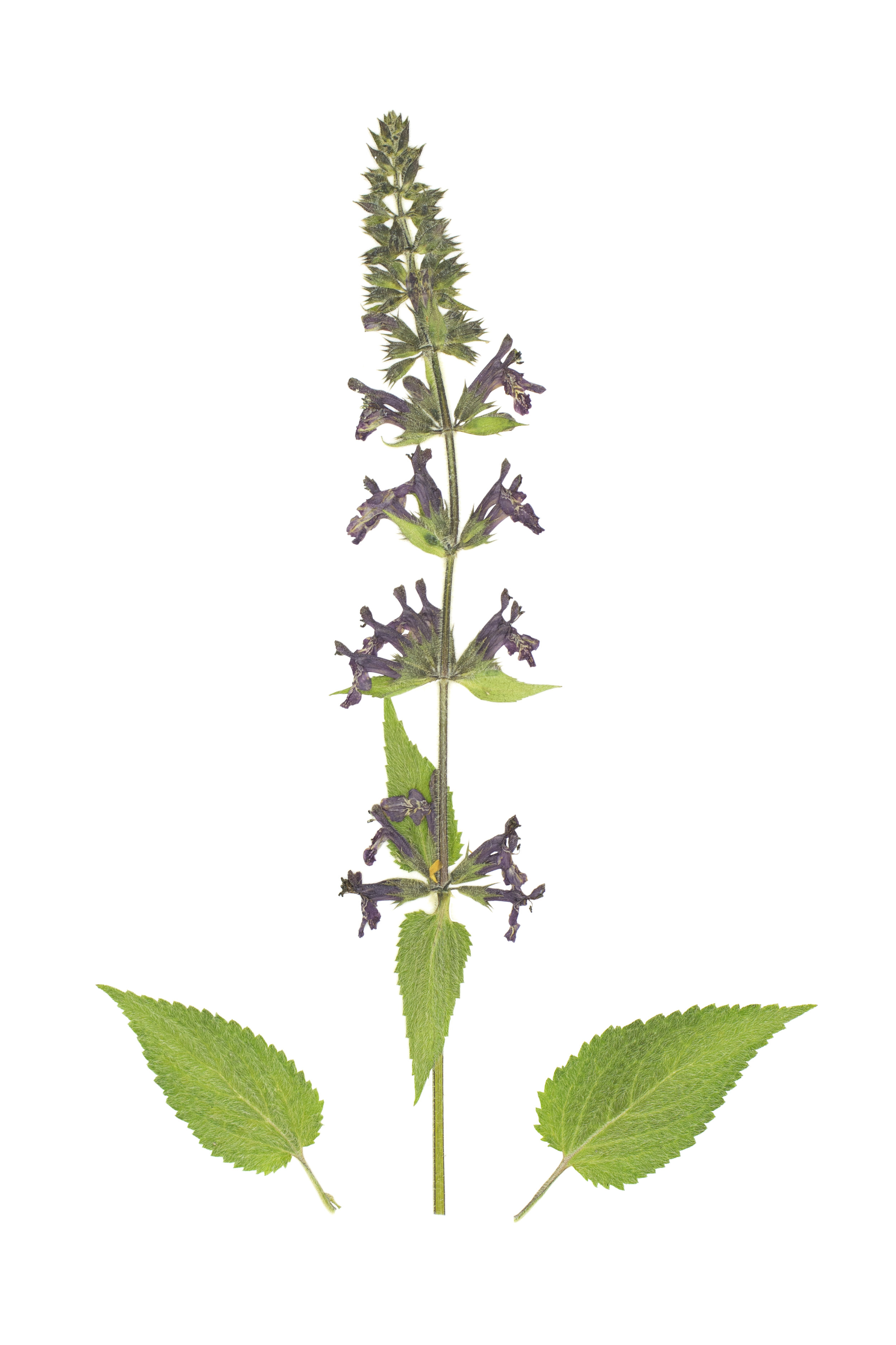 Hedge Woundwort/ Stachys sylvatica
