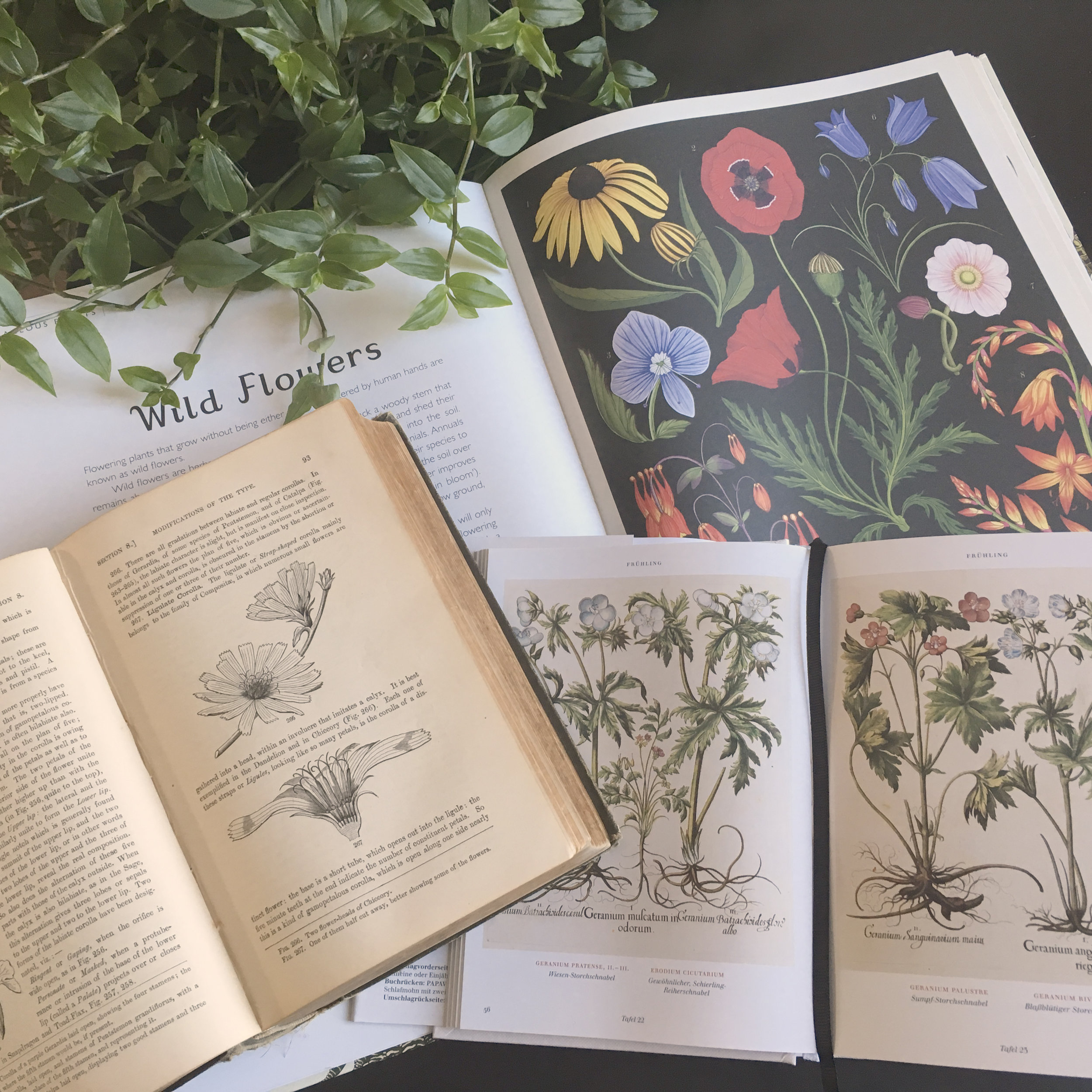 Botanical illustrations are a useful (and beautiful!) identification aid.