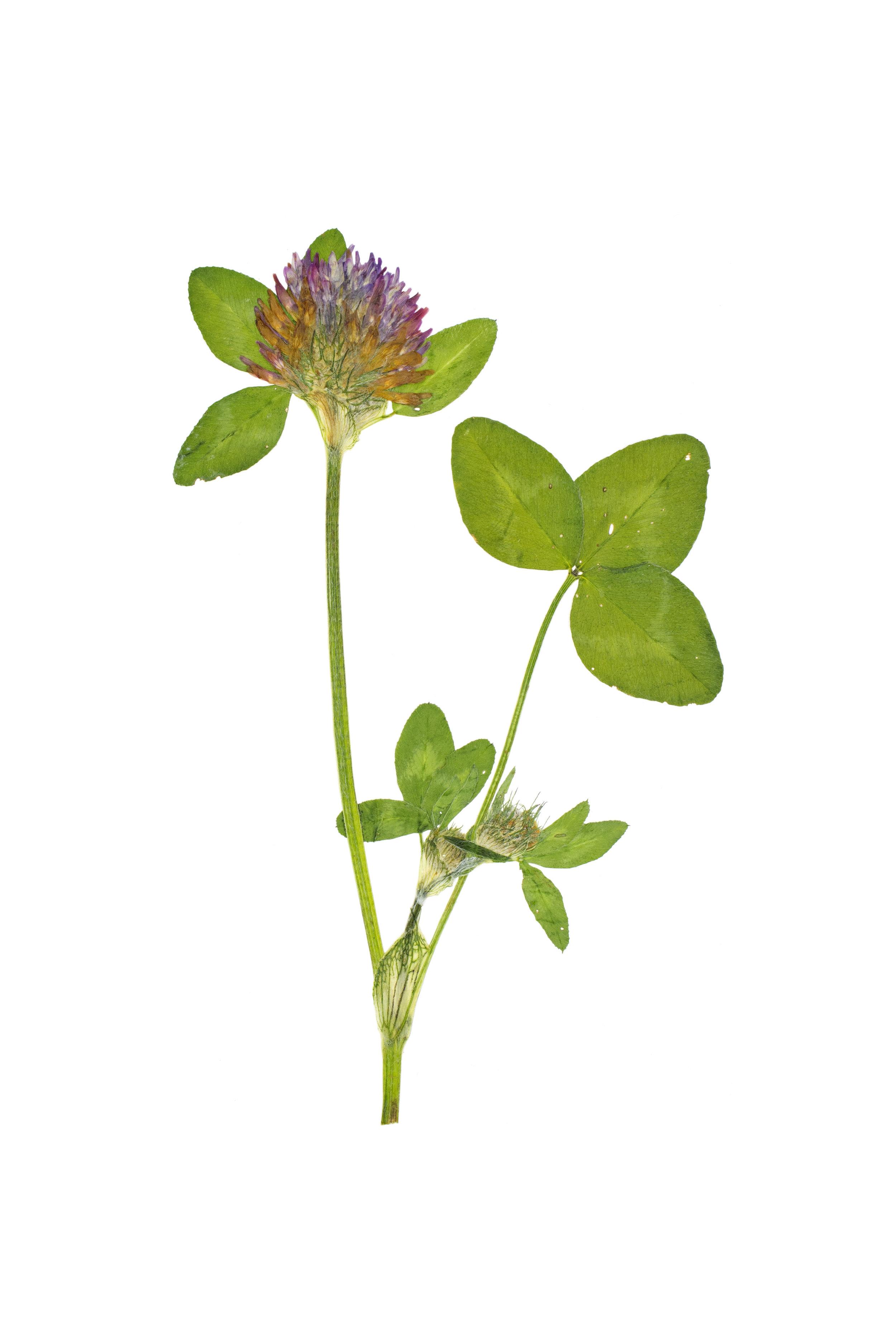 Red Clover / Trifolium pratense