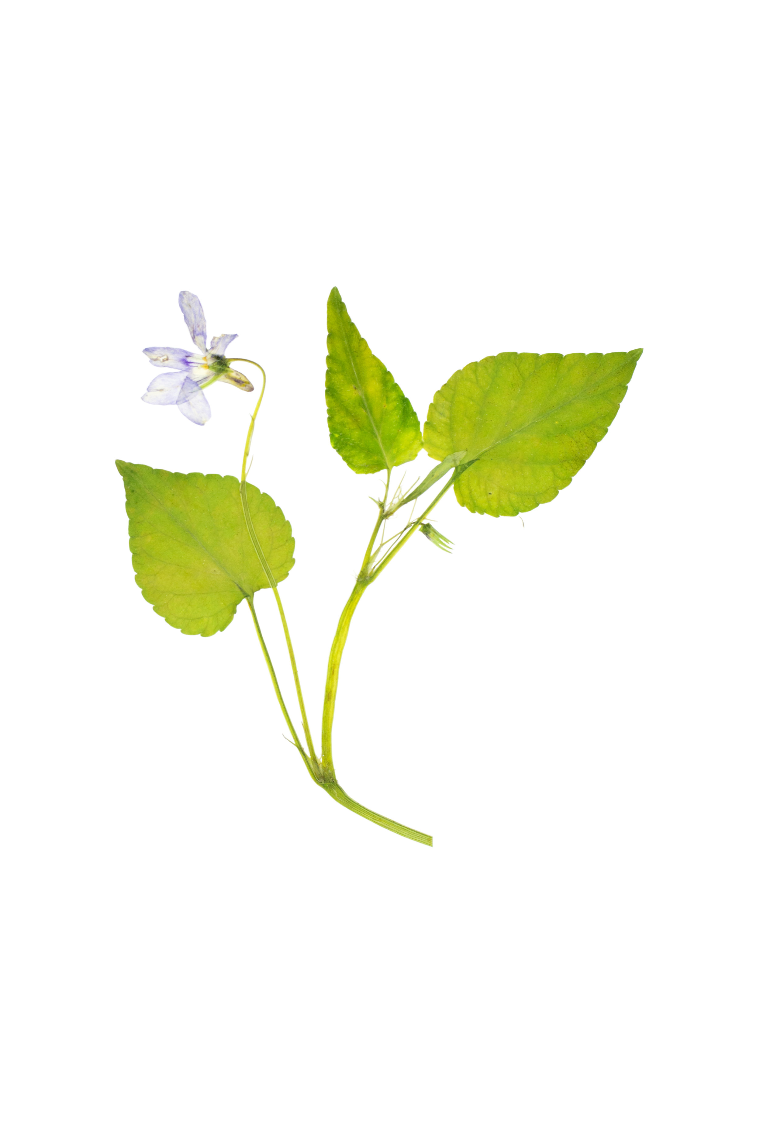 Common Dog Violet / Viola riviniana
