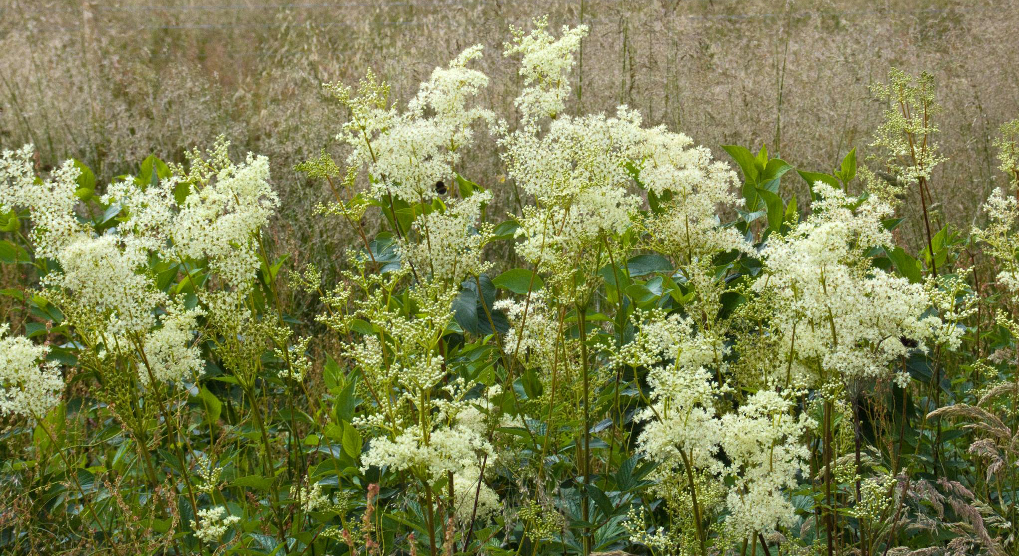 """photograph: """"meadowsweet"""" by  nz_willowherb , licensed under  CC BY-NC 2.0  / cropped from original"""