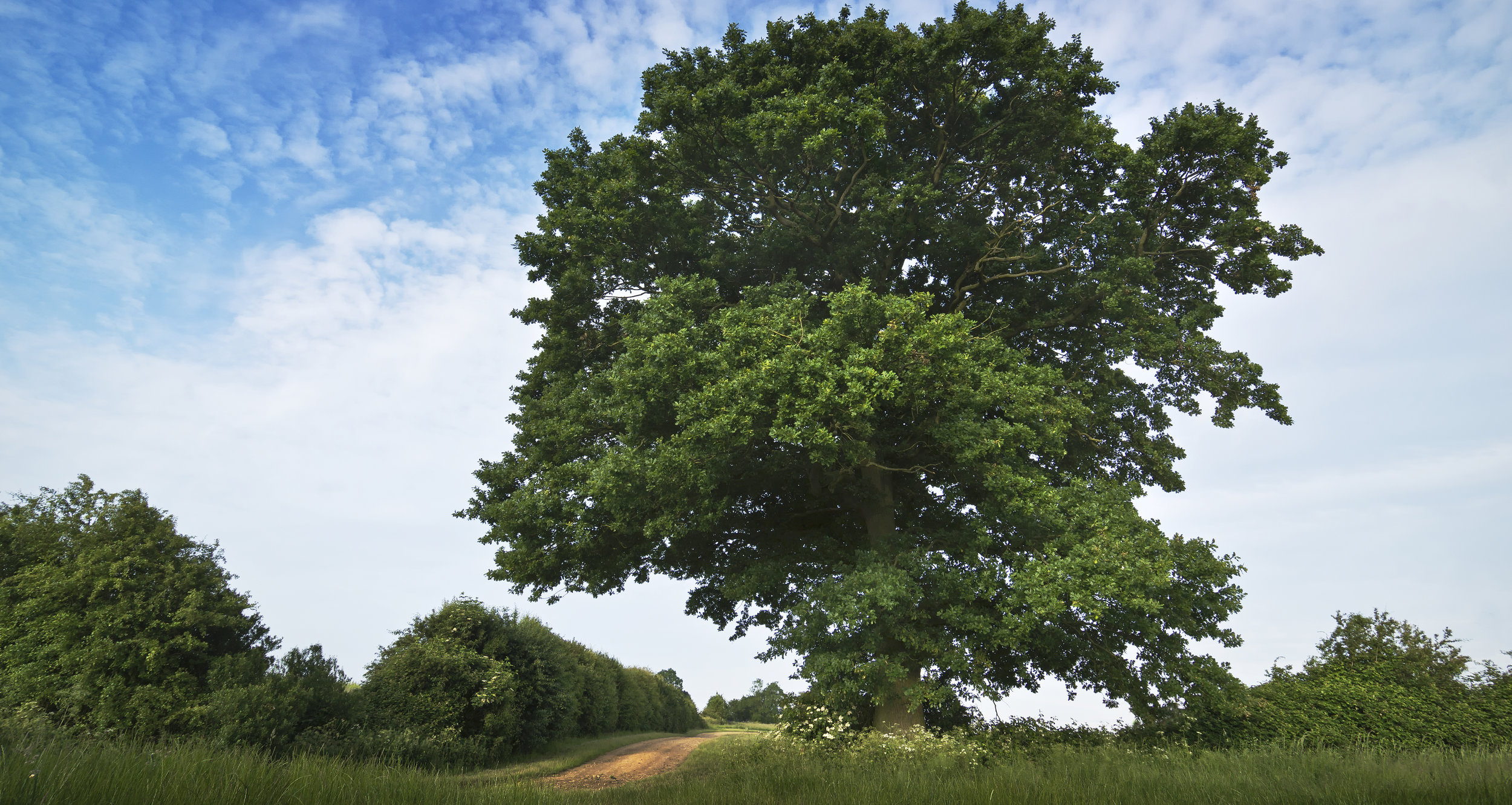 """photograph: """" English oak / Quercus robur """" by  AJ Cann  licensed under  CC BY-SA 2.0  / cropped from original"""