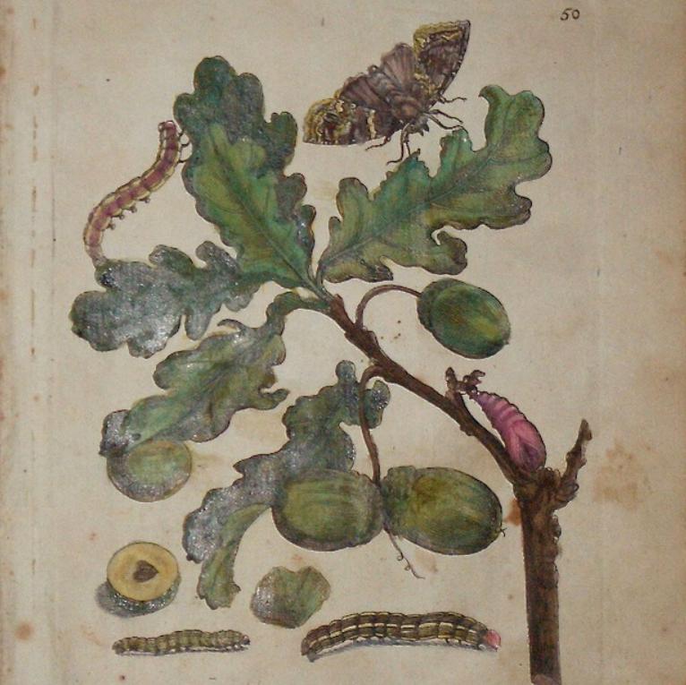 """Raupenbuch """" Quercus cum Fructu """", 1713"""
