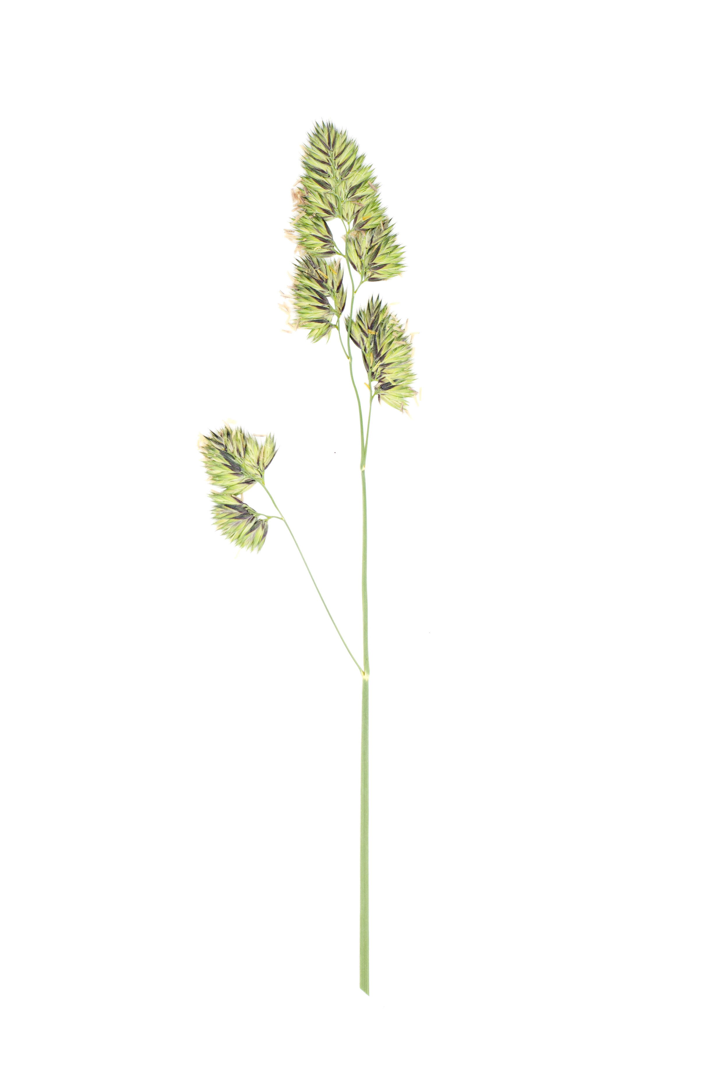 Cocksfoot or Orchardgrass / Dactylis glomerata
