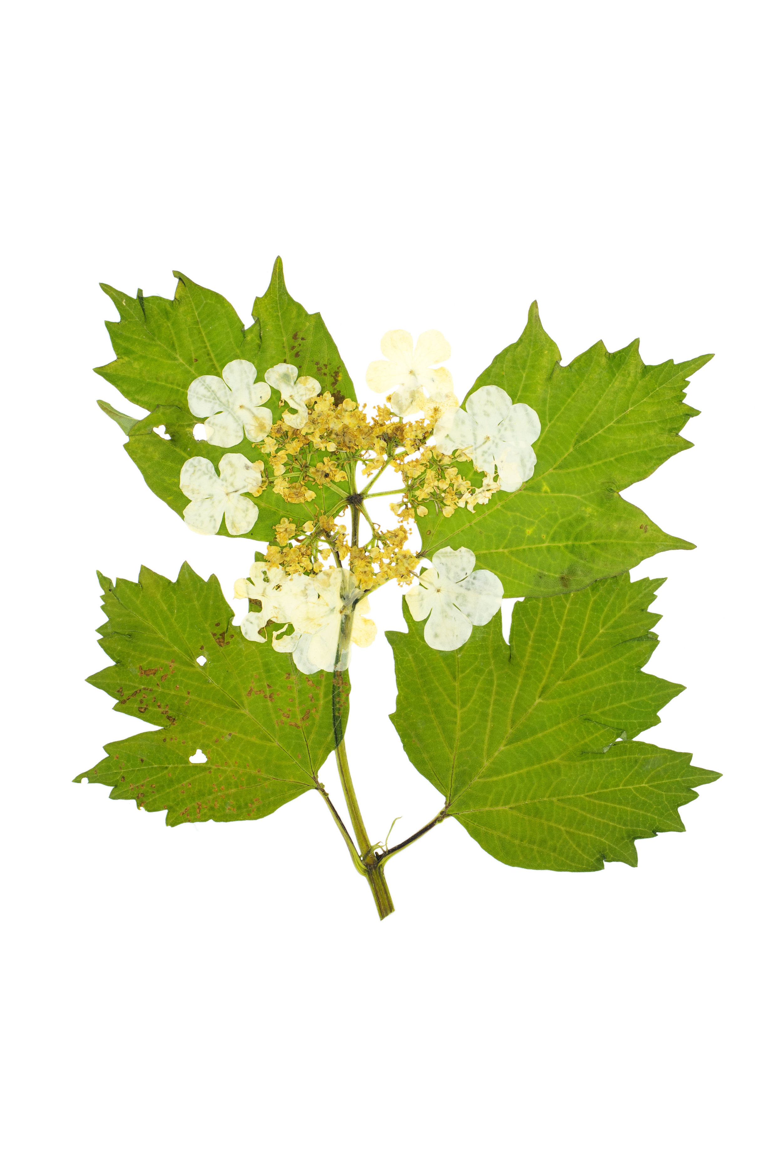 Guelder Rose / Viburnum opulus