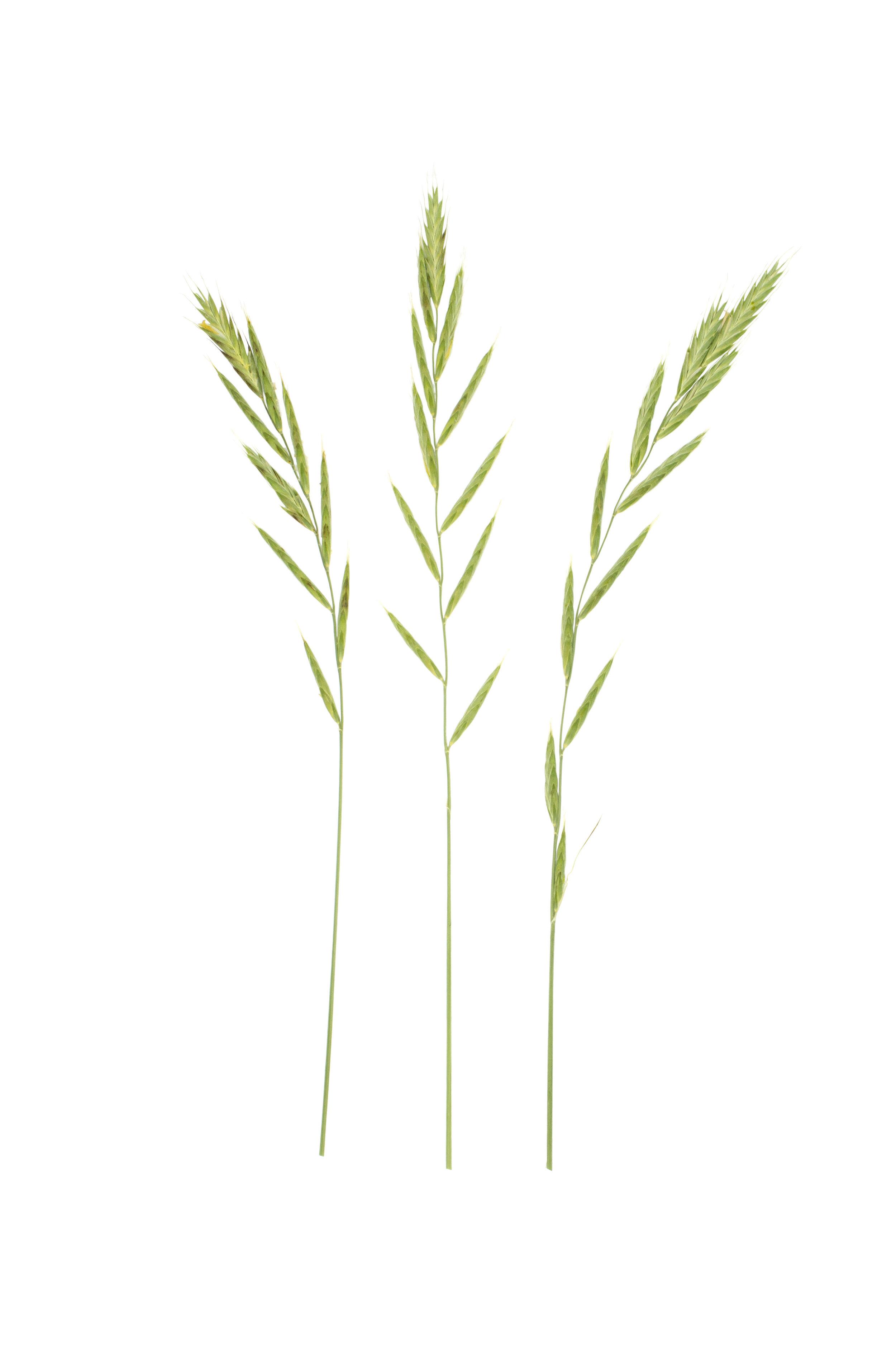 Heath False Brome / Brachypodium pinnatum