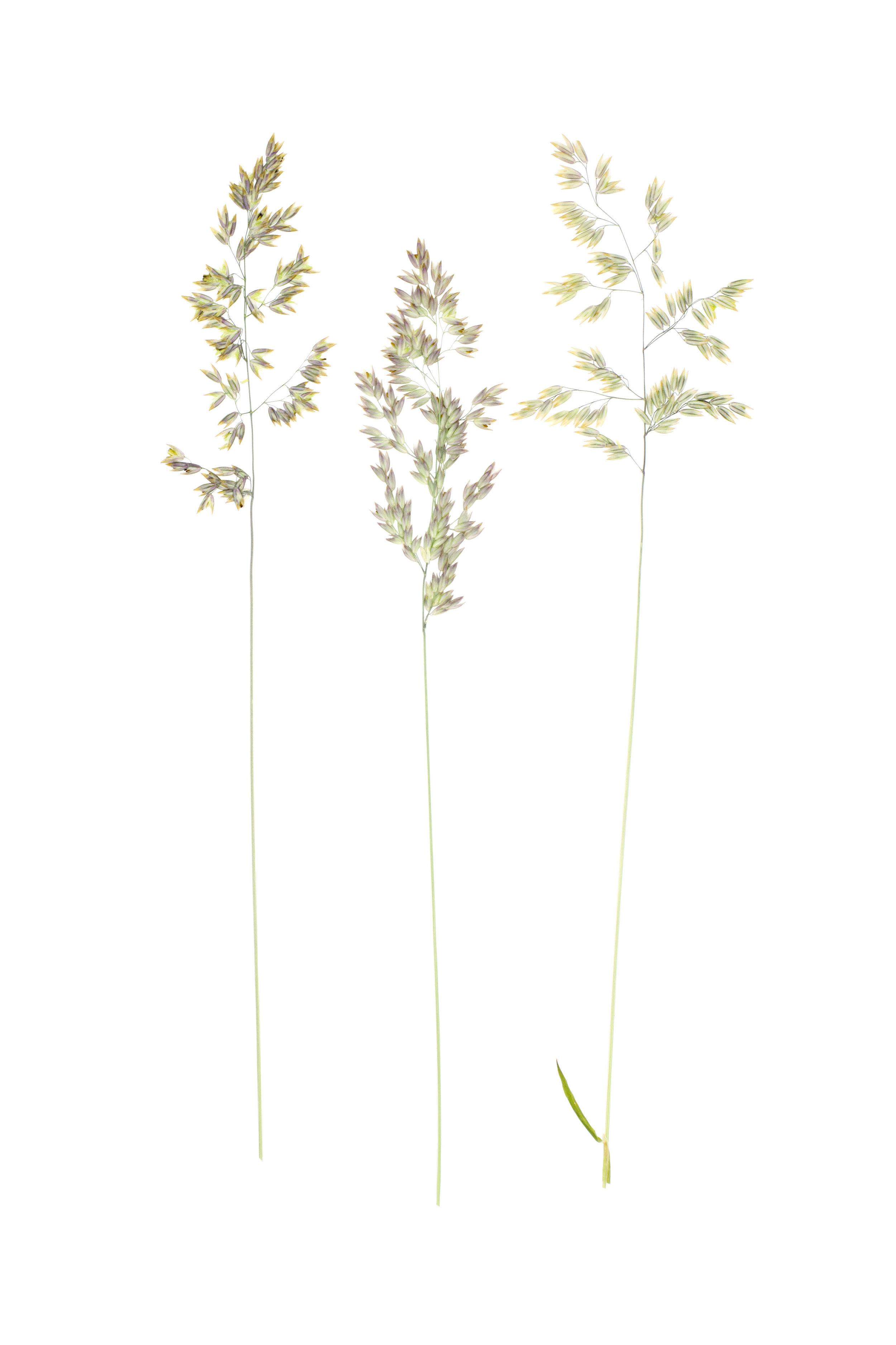 Velvet Grass or Yorkshire Fog / Holcus lanatus