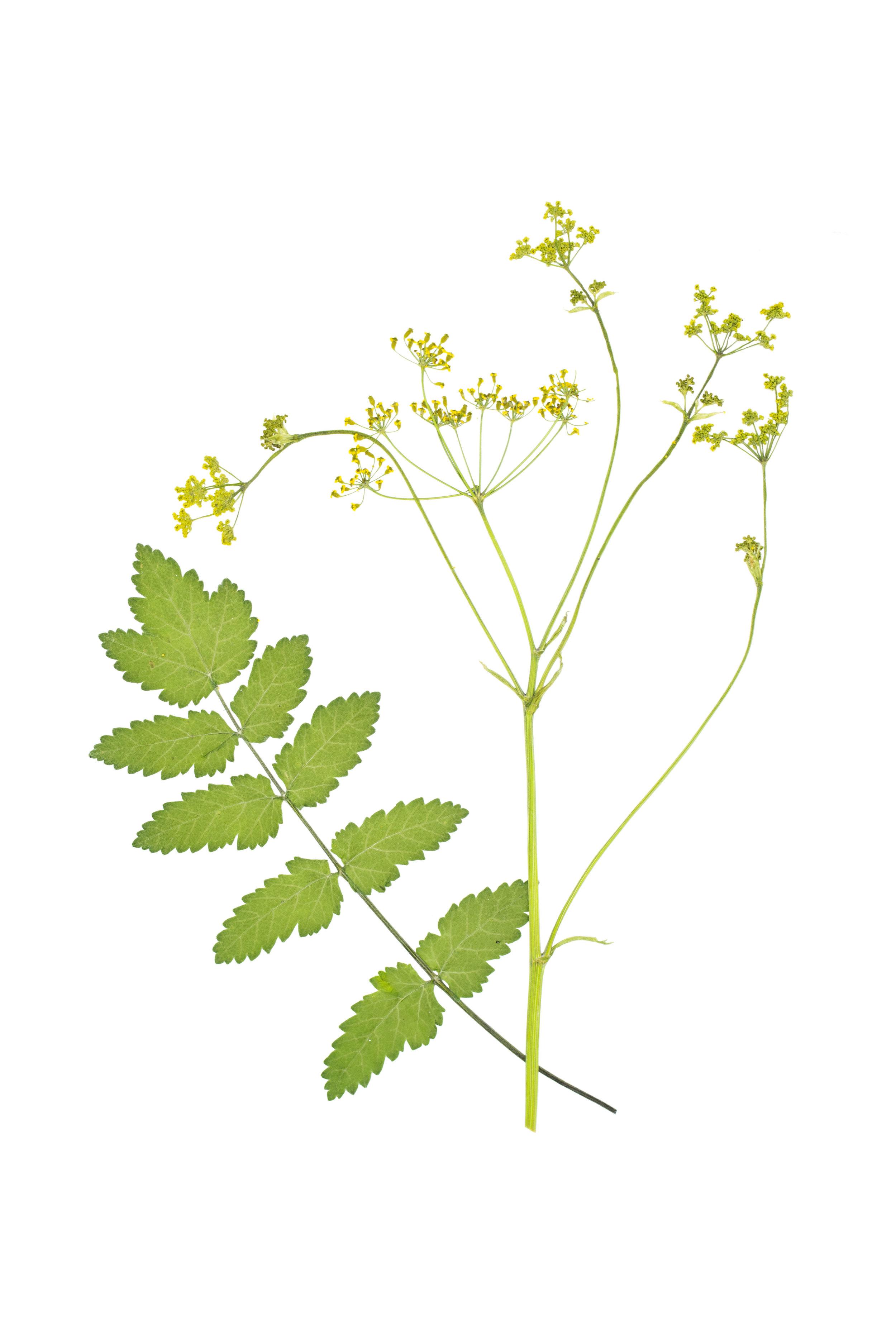Wild Parsnip / Pastinaca sativa