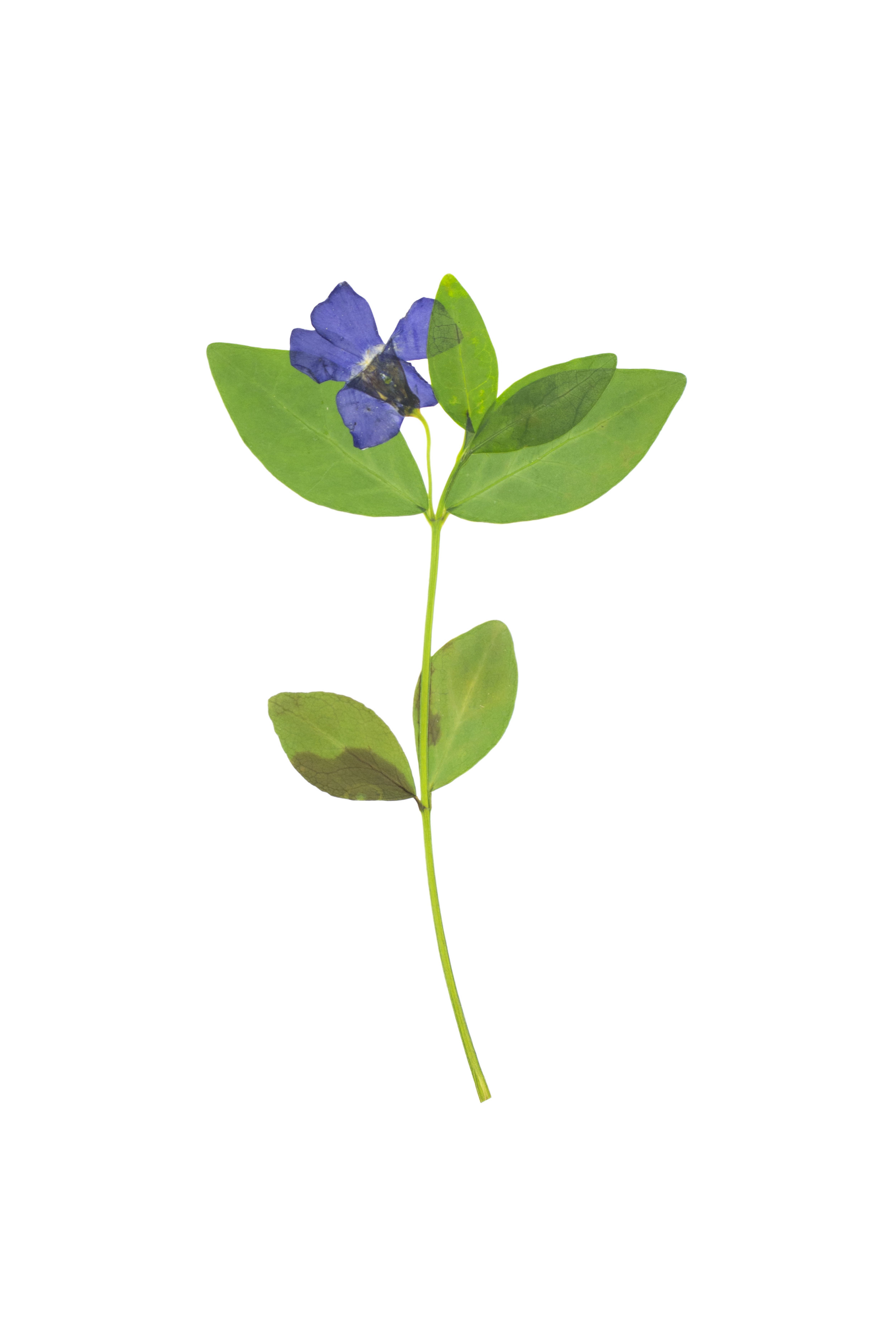 Periwinkle / Vinca minor