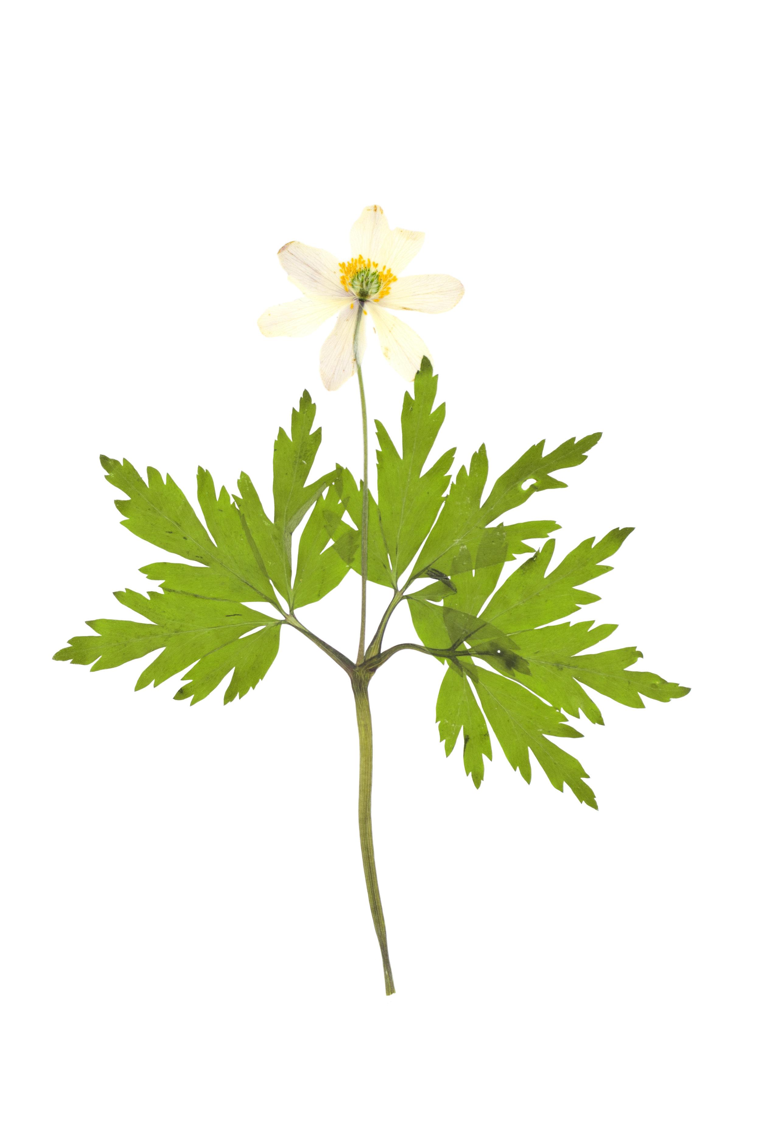 Wood Anemone / Anemone nemorosa