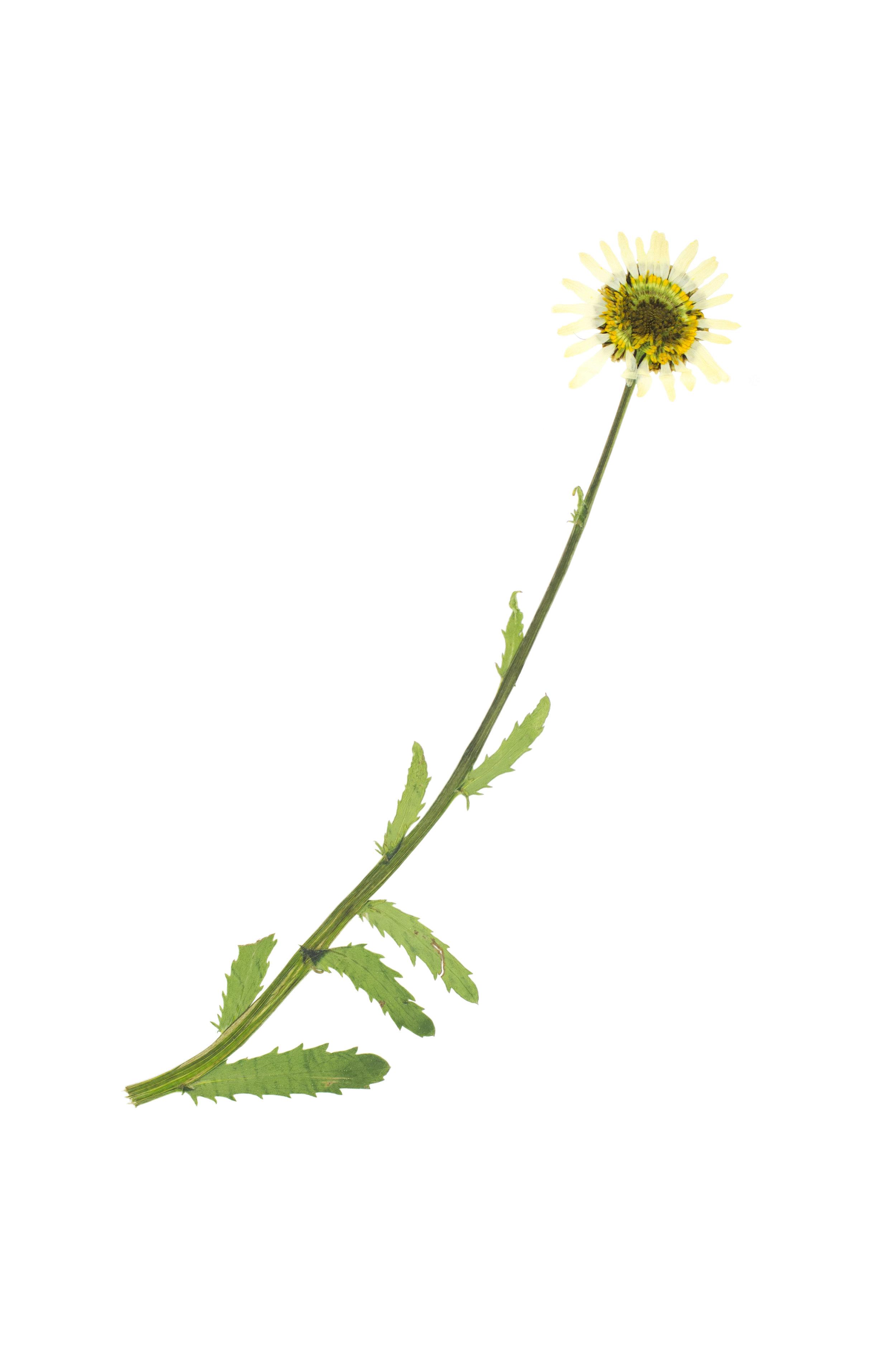 Mountain Marguerite / Leucanthemum adustum