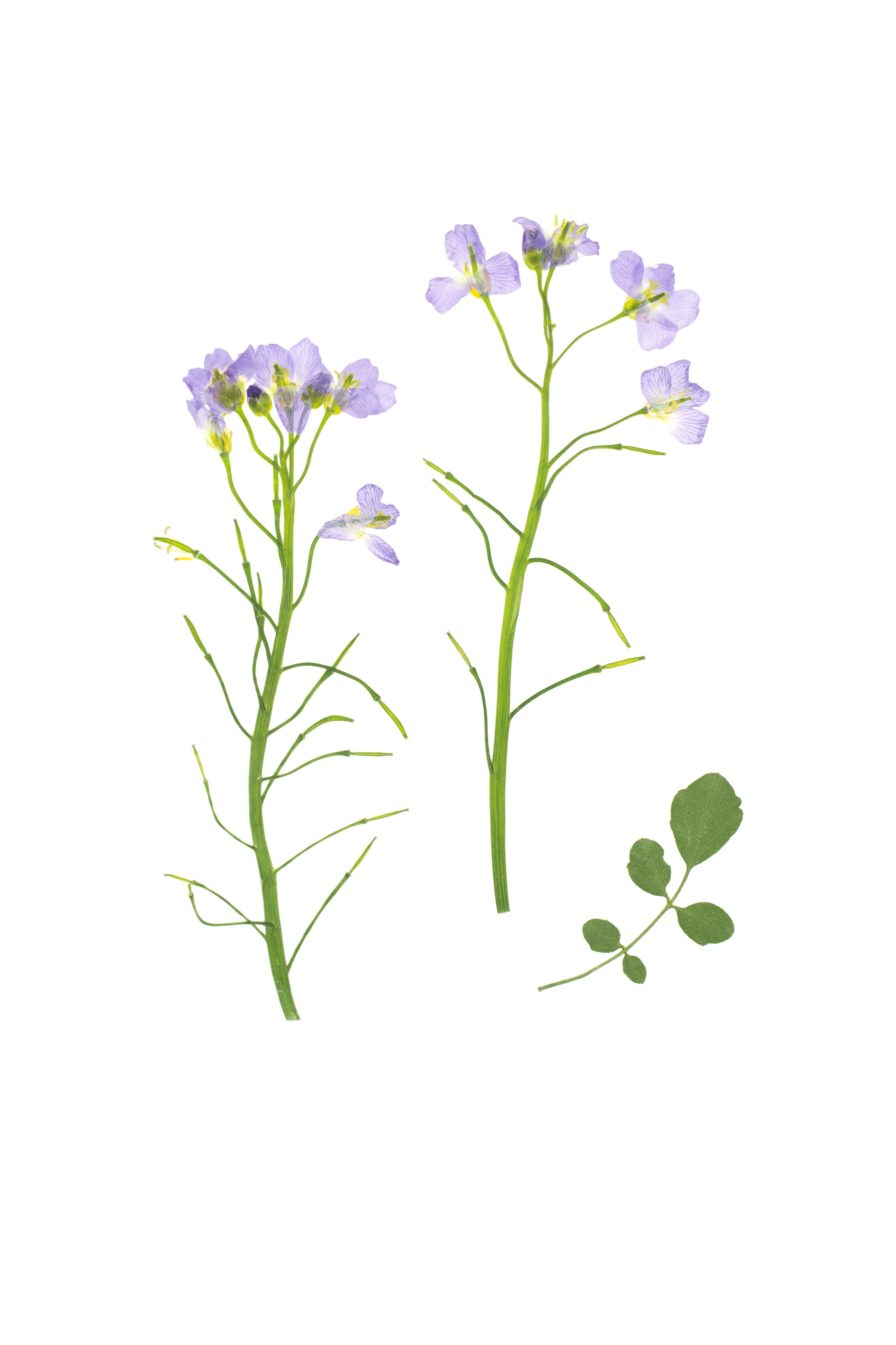 Cuckoo Flower / Cardamine pratensis