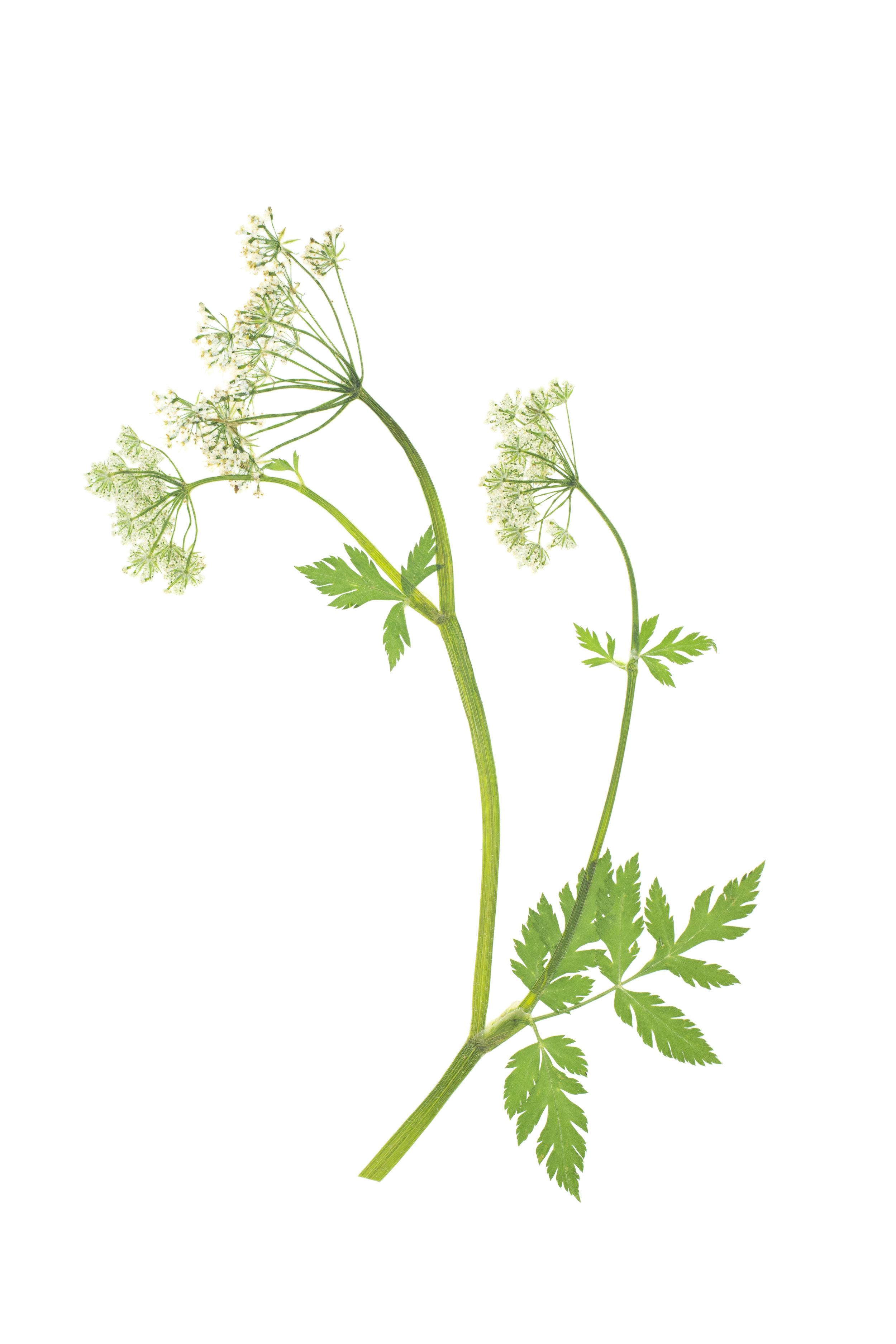 Glossy Chervil / Anthriscus nitida