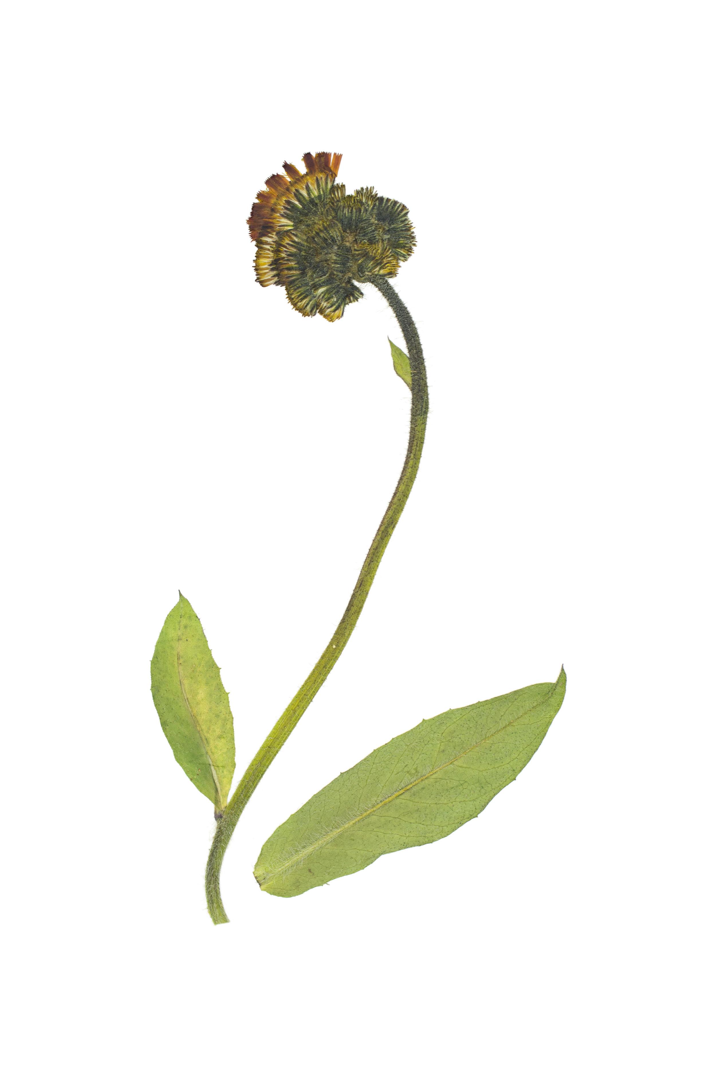 Orange Hawkweed / Hieracium aurantiacum