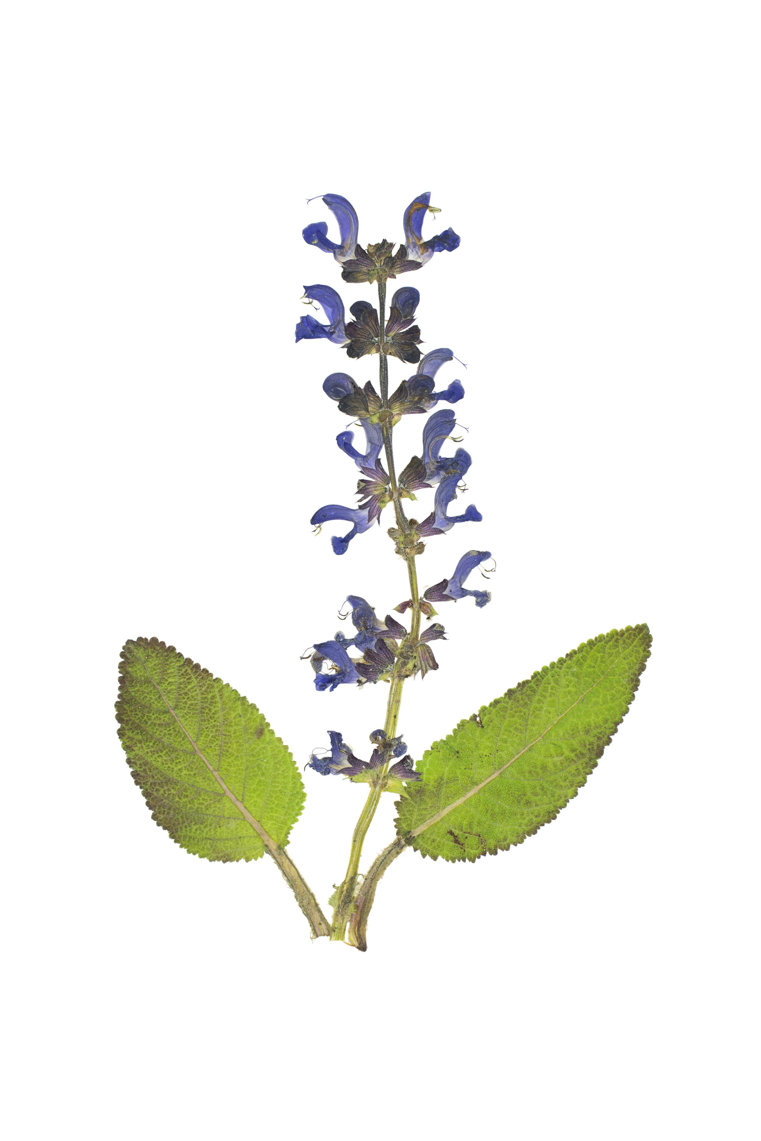 Meadow Clary / Salvia pratensis