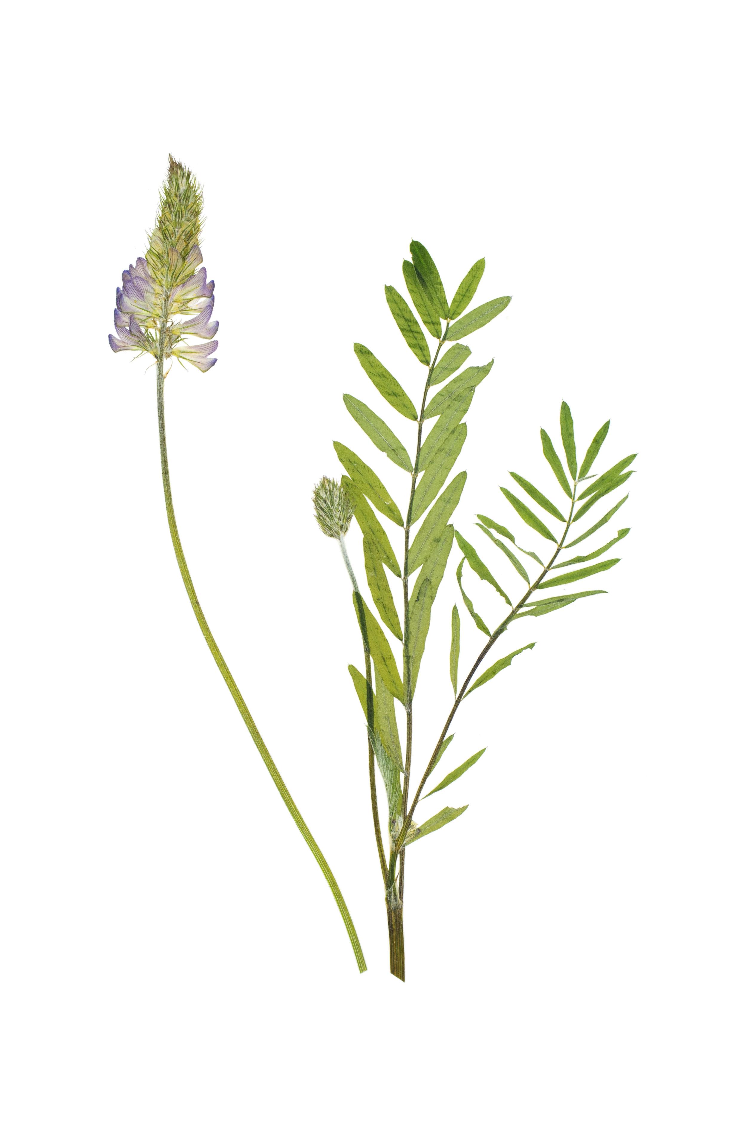 Common Sainfoin / Onobrychis viciifolia