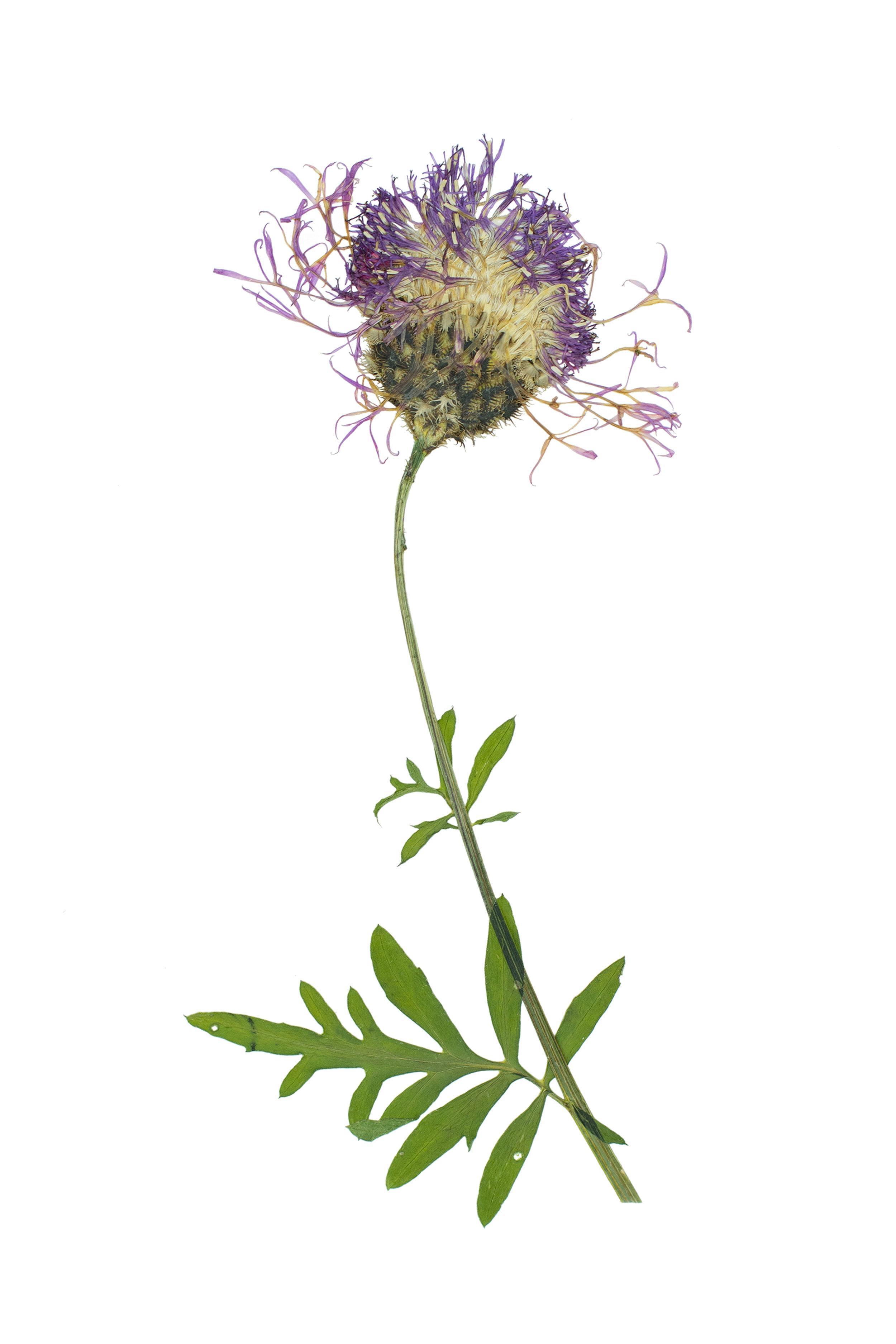 Greater Knapweed / Centaurea scabiosa