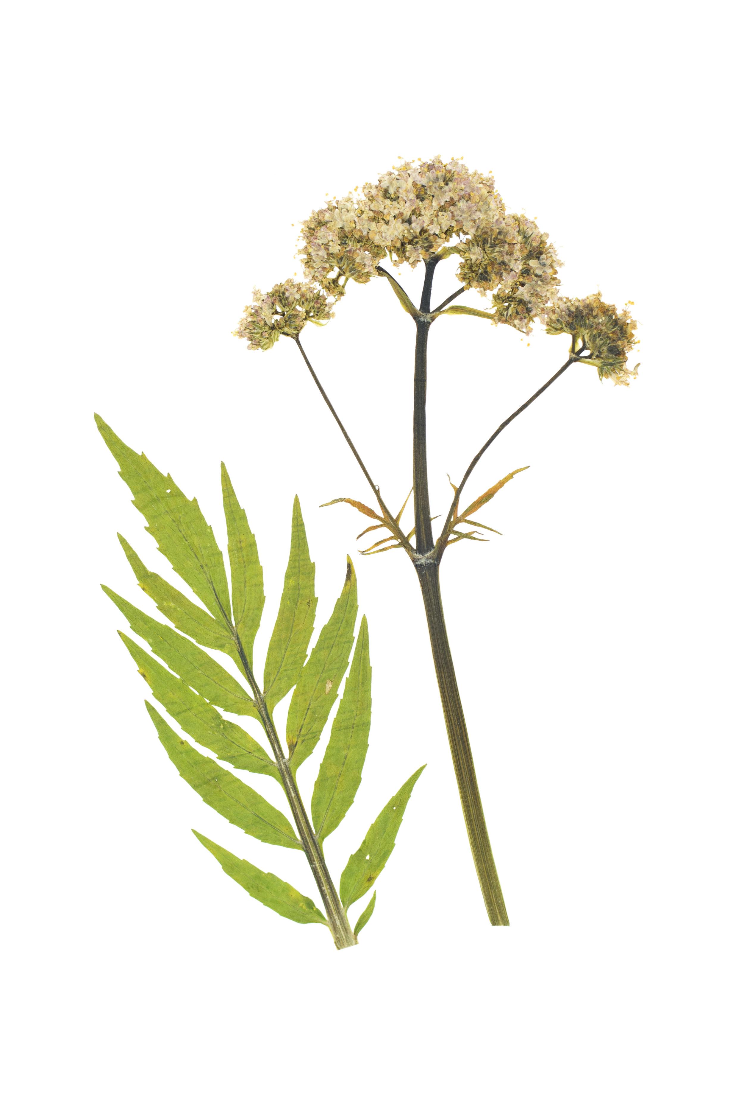 Valerian / Valeriana officinalis