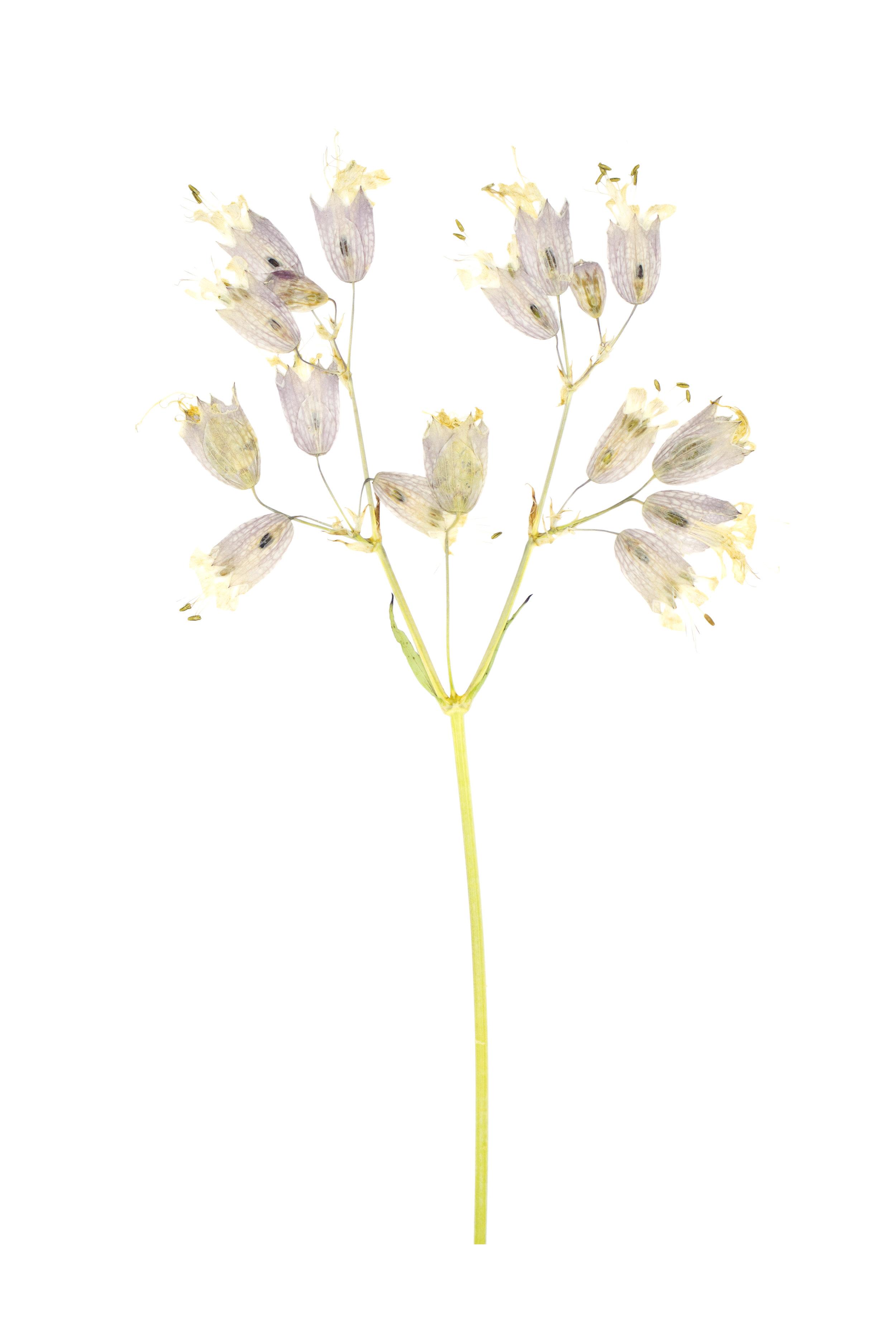 Bladder Campion / Silene vulgaris