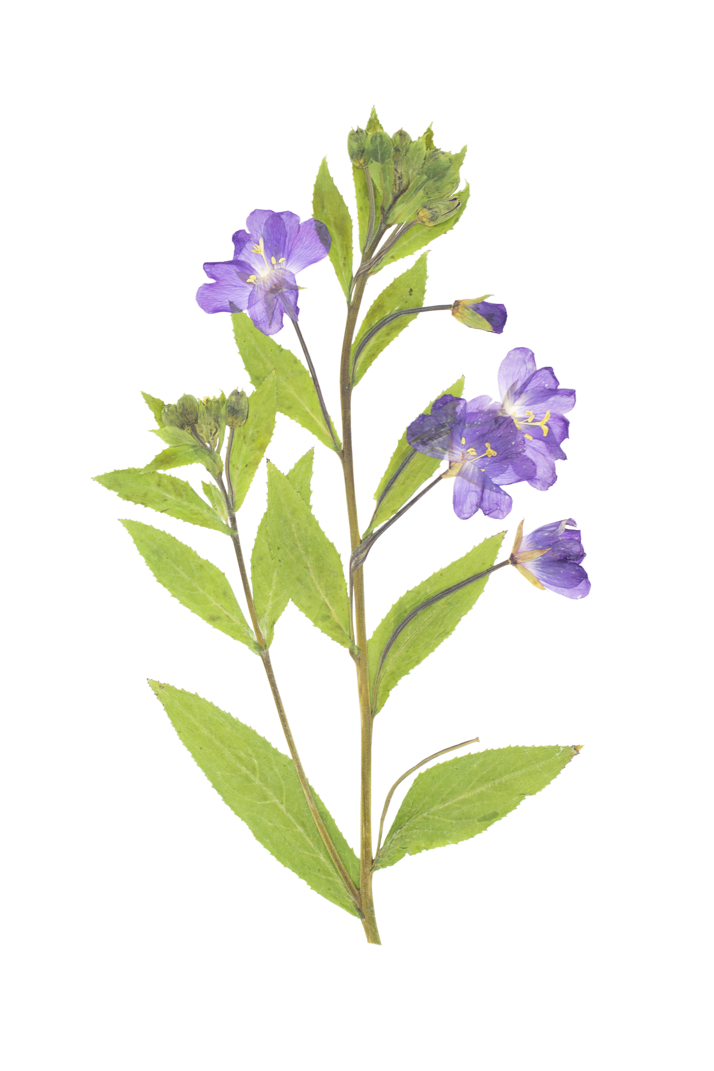 Great Willowherb / Epilobium hirsutum