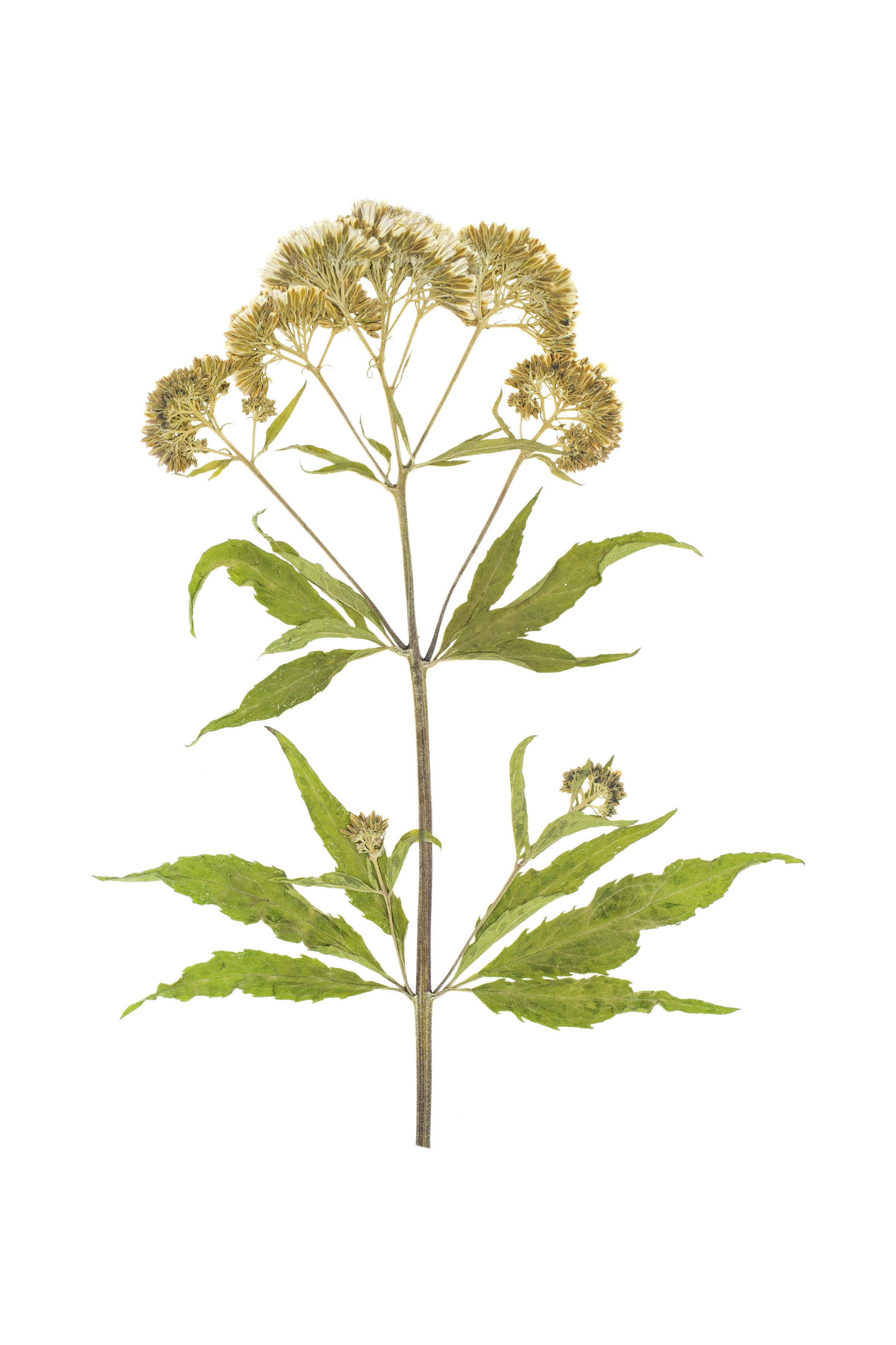 Hemp Agrimony / Eupatorium cannabinum
