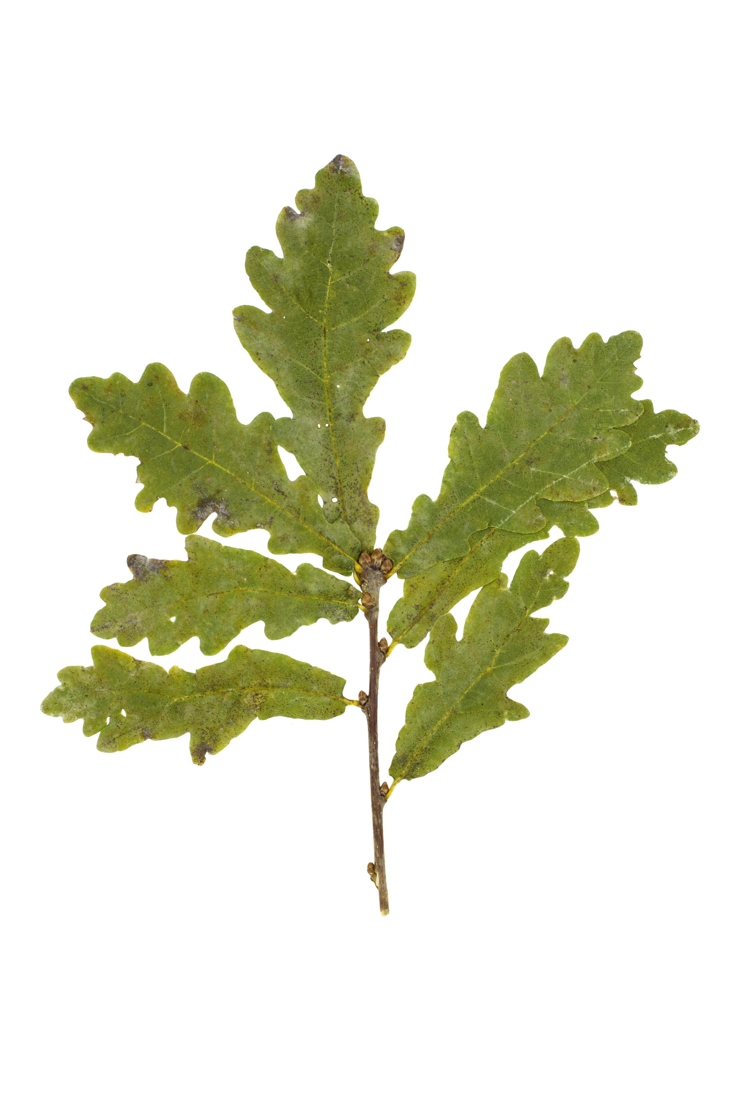 English Oak / Quercus robur