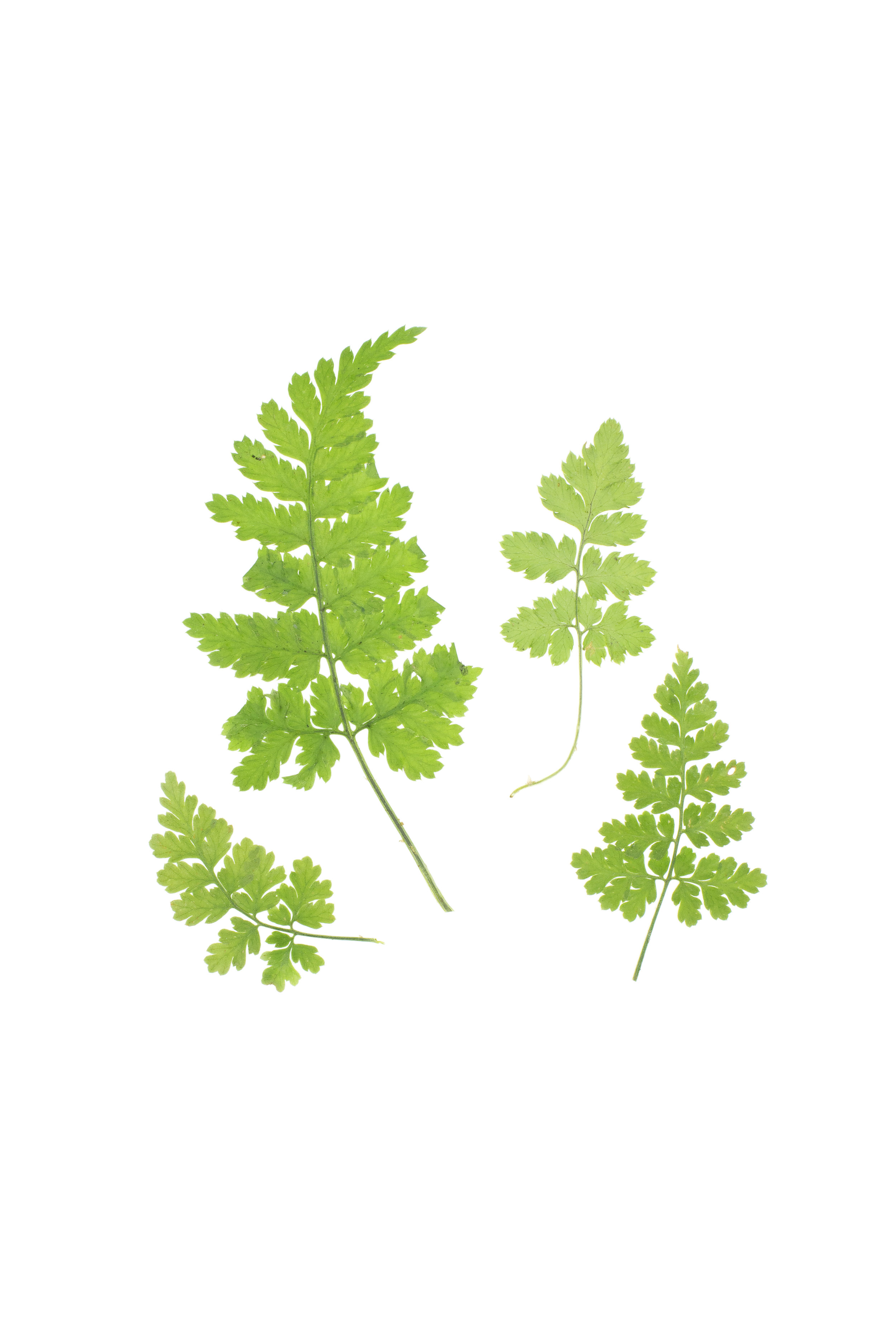 Brittle Bladder Fern / Cystopteris fragilis