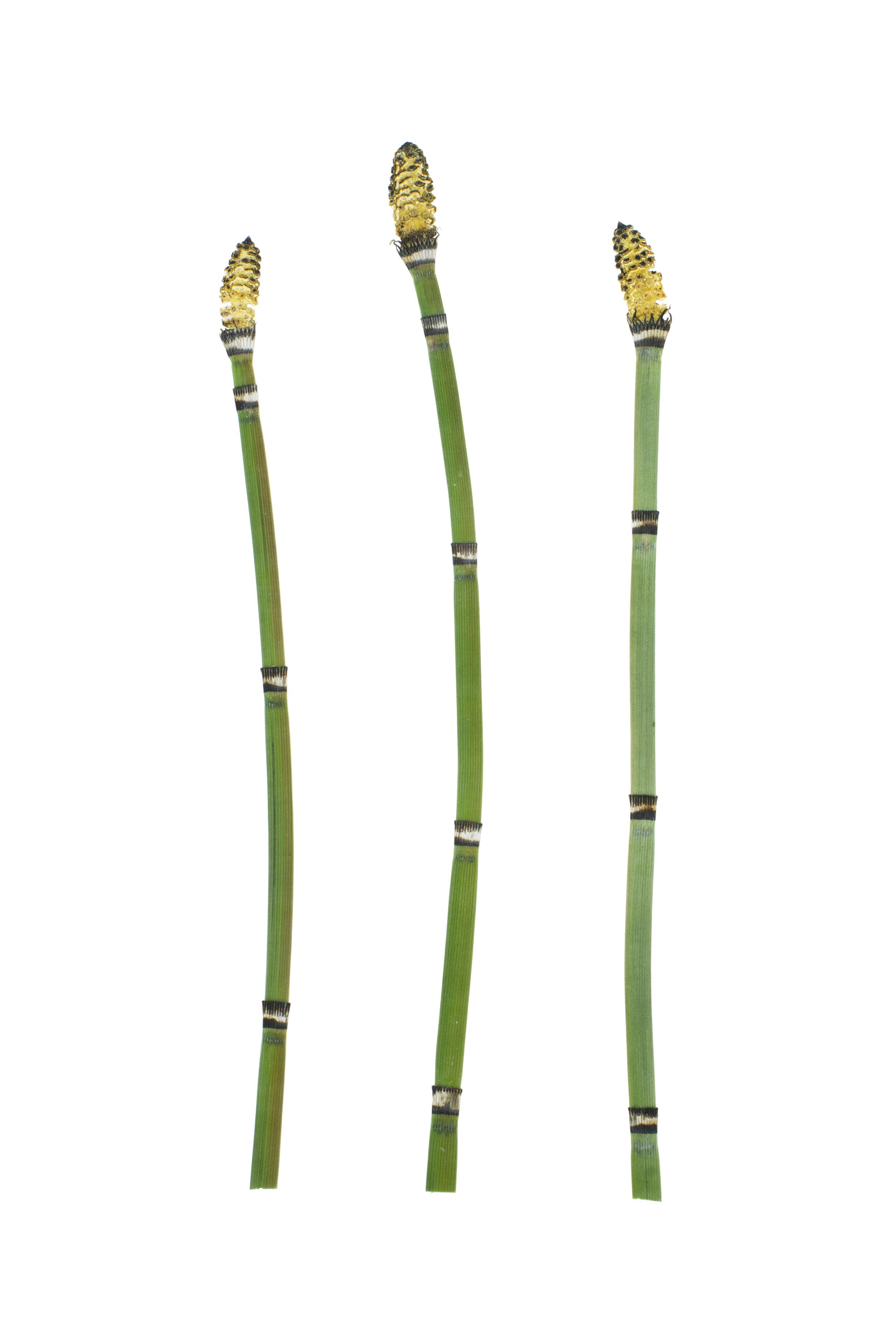 Horsetail or Scouring Rush / Equisetum hyemale