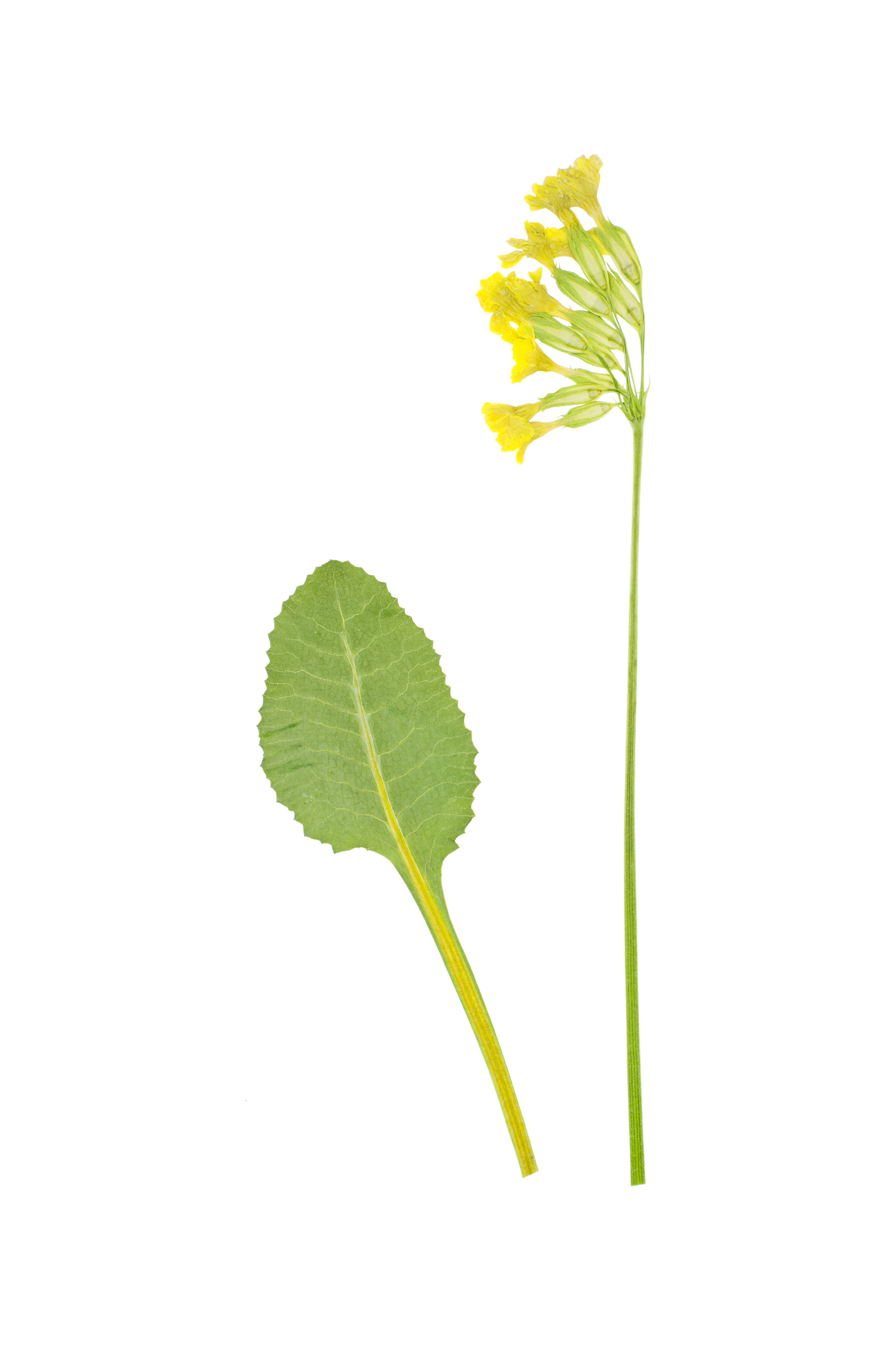 Oxlip / Primula elatior