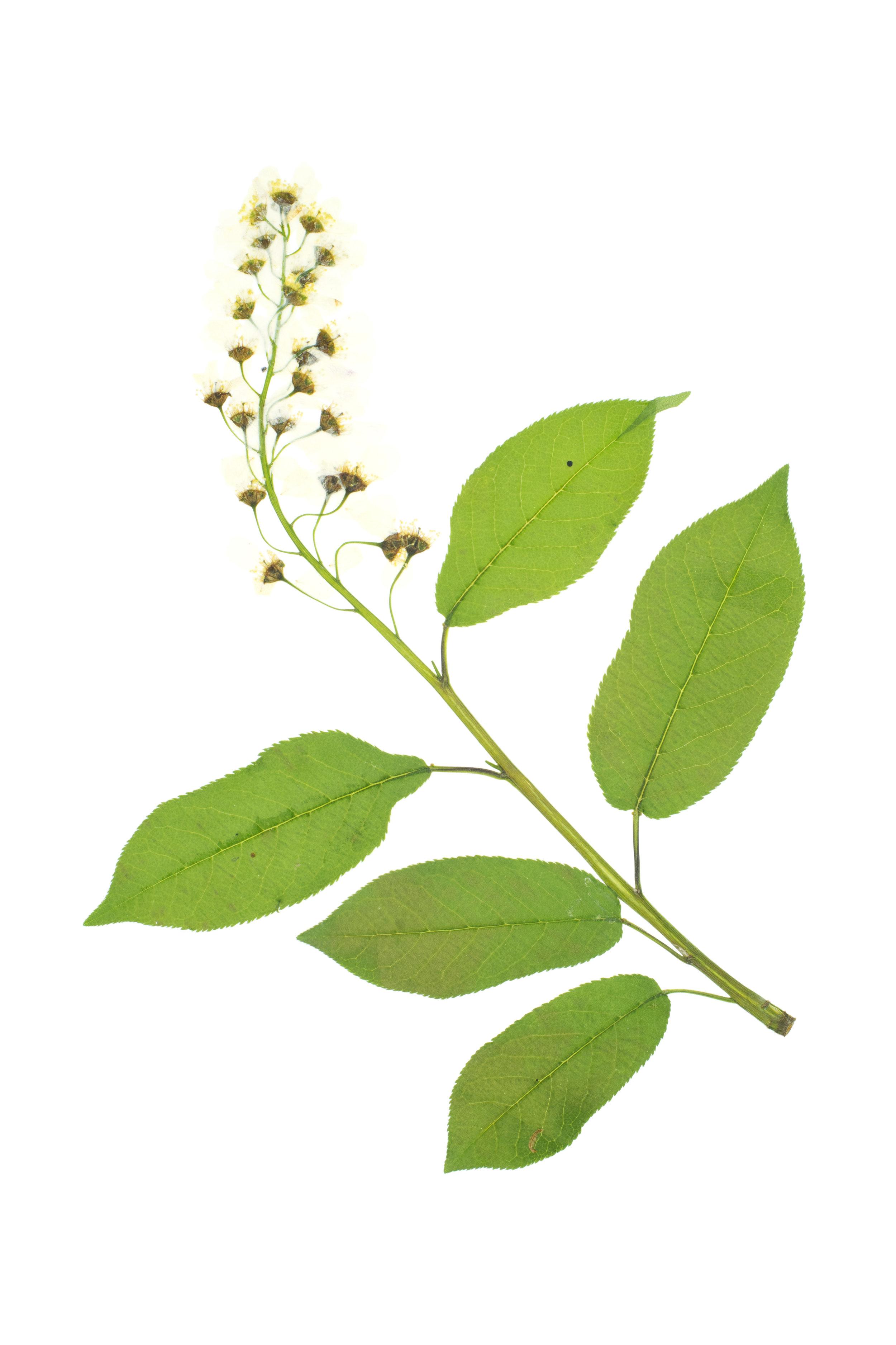 Blackthorn or Sloe / Prunus spinosa